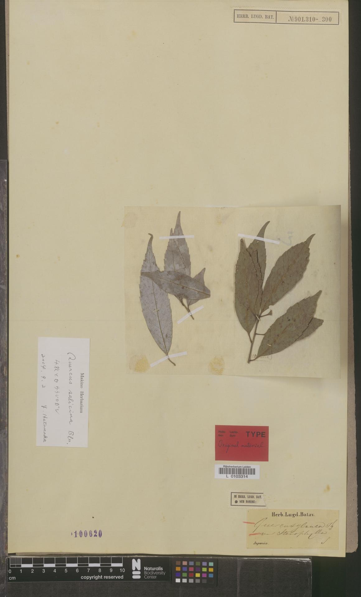 L  0103314 | Quercus glauca var. stenophylla Blume