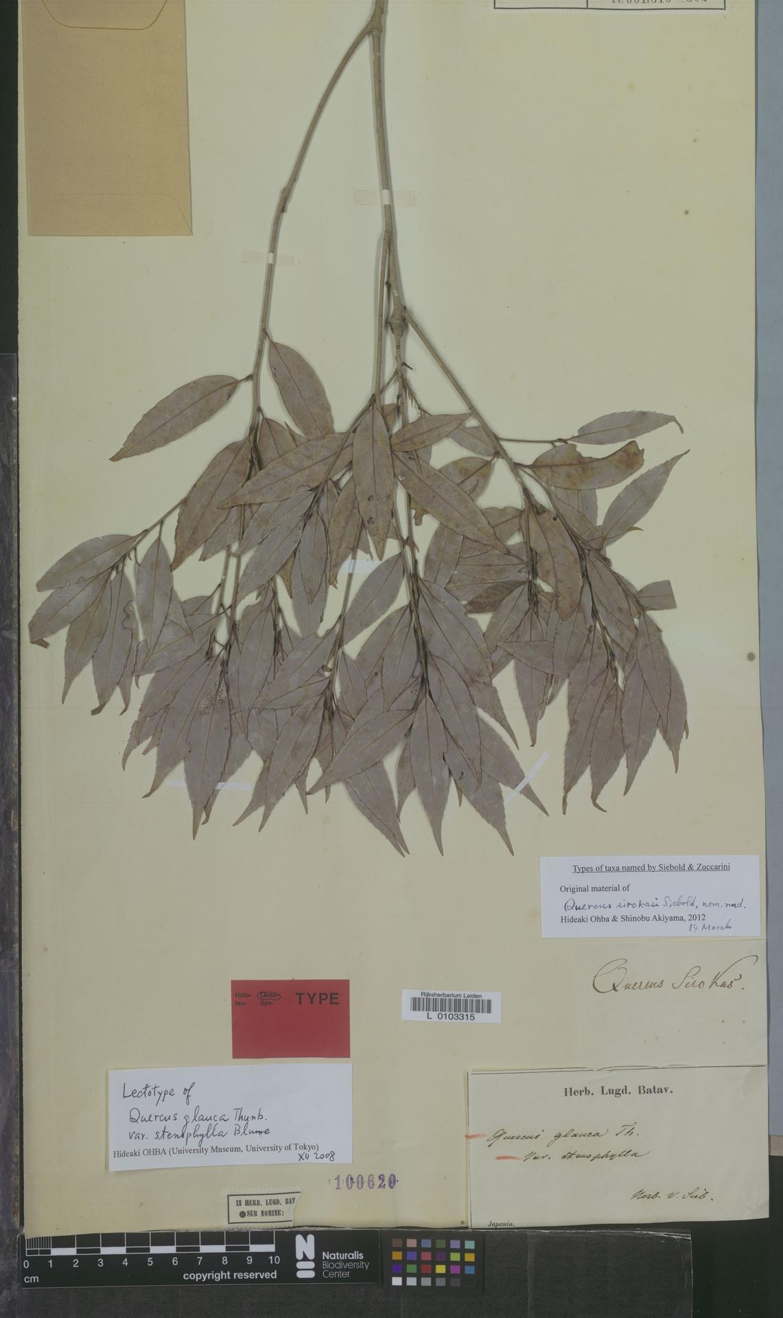 L  0103315 | Quercus glauca var. stenophylla Blume