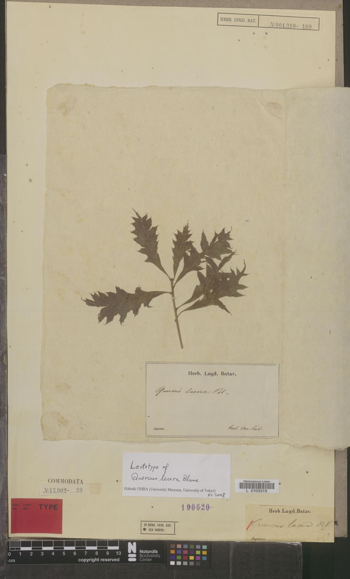 L  0103319 | Quercus lacera Blume