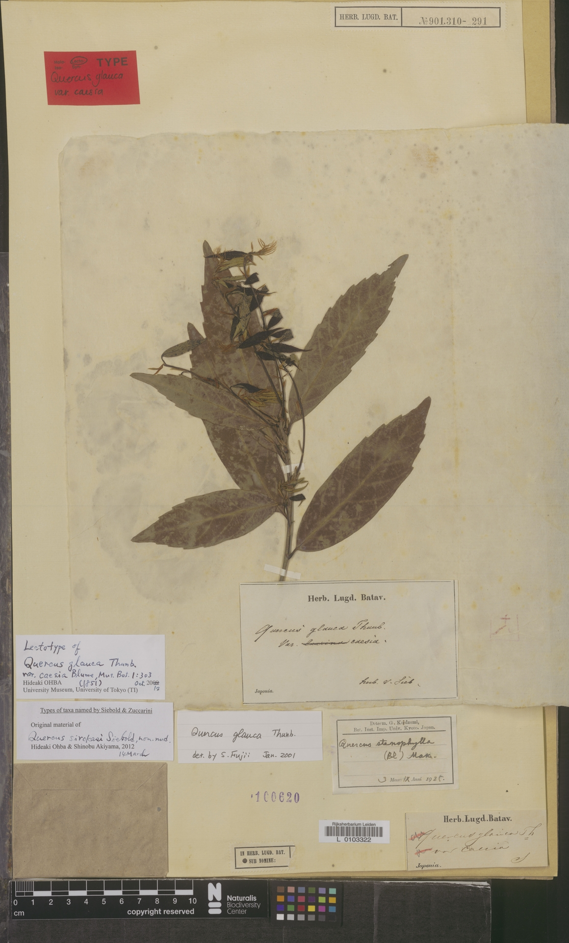 L  0103322 | Quercus glauca Thunb.