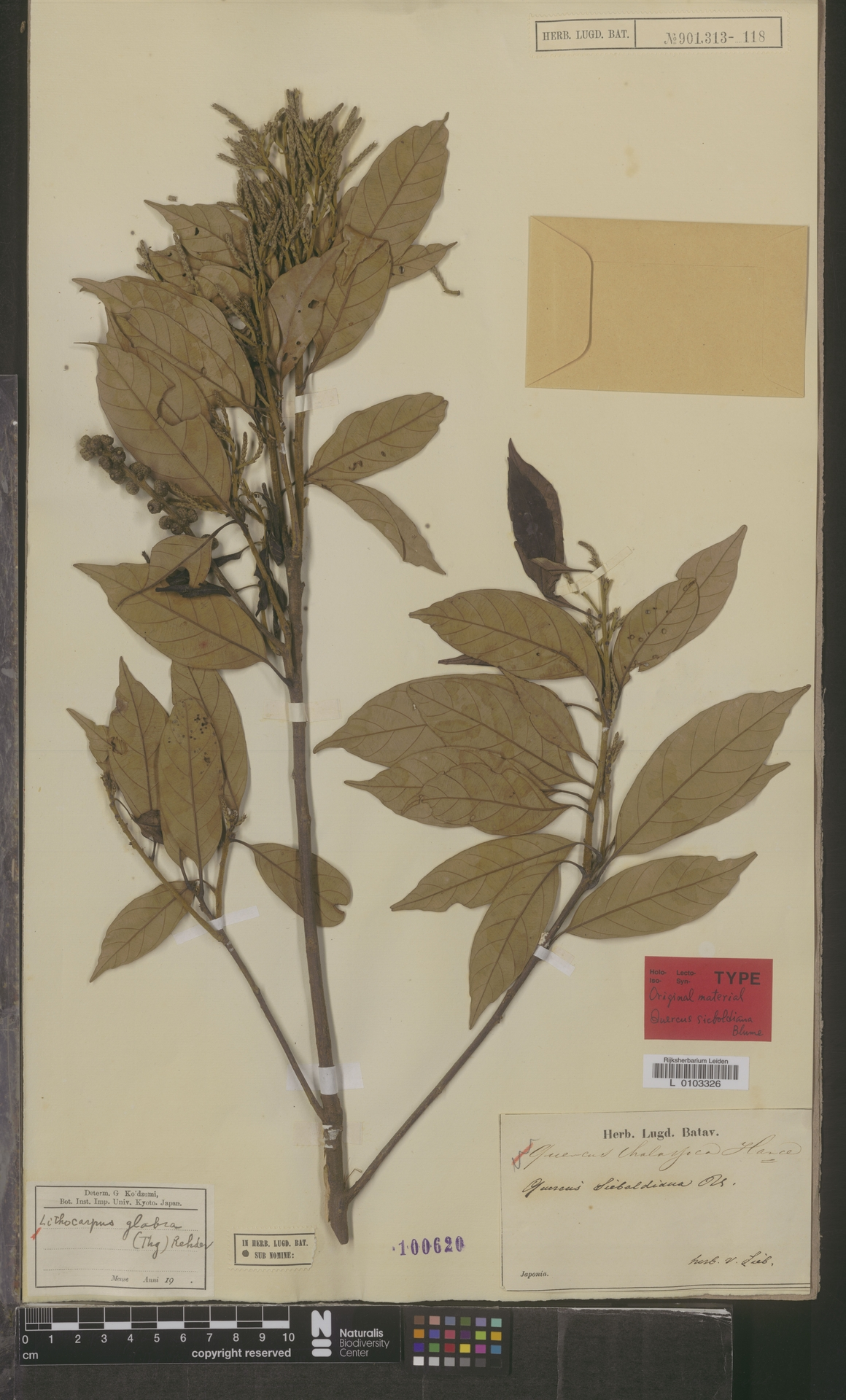 L  0103326 | Lithocarpus glabra (Thunb.) Nakai