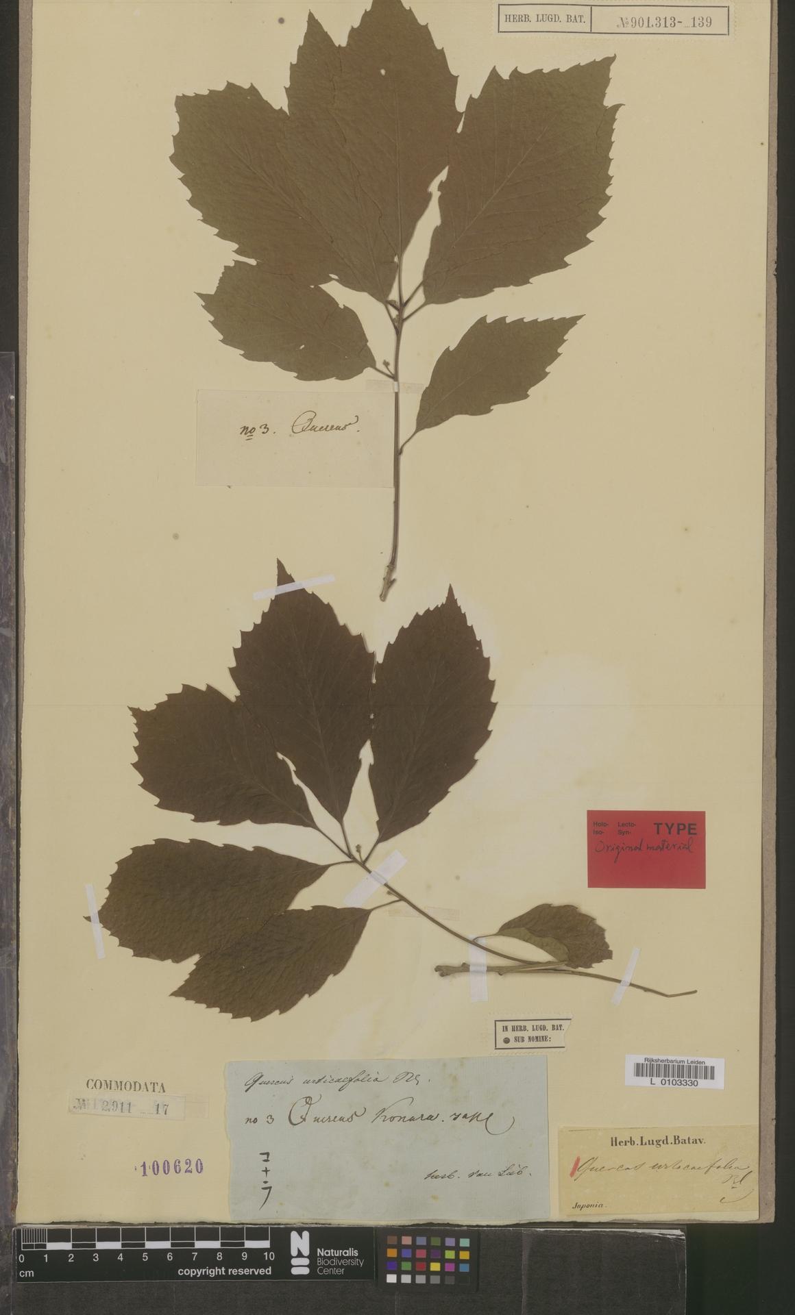 L  0103330 | Quercus urticaefolia Blume