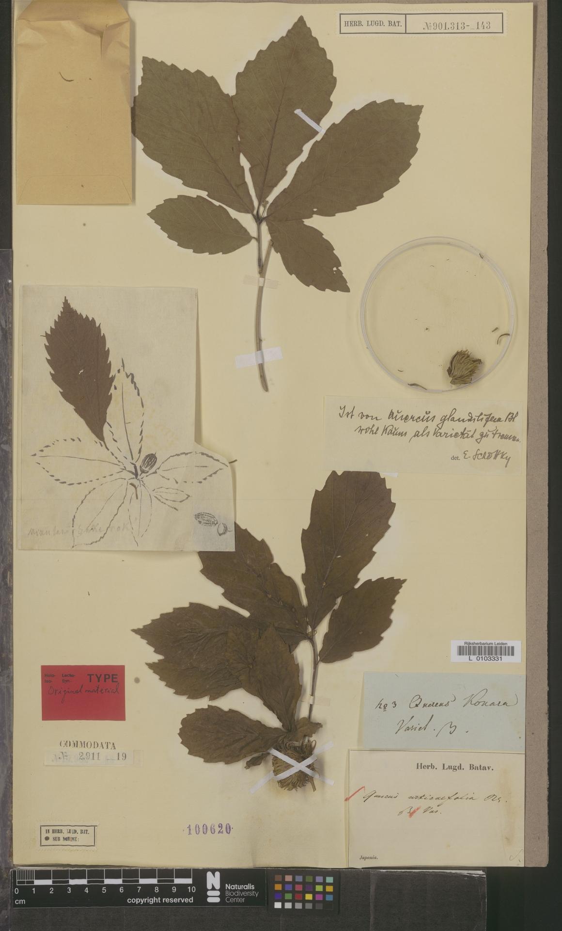 L  0103331 | Quercus urticaefolia Blume