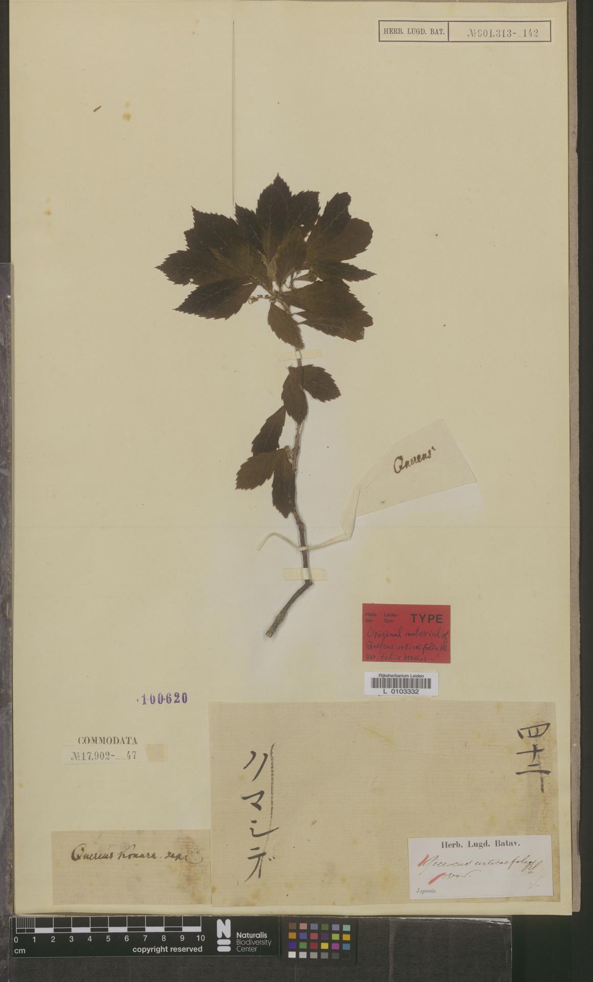 L  0103332 | Quercus urticaefolia Blume