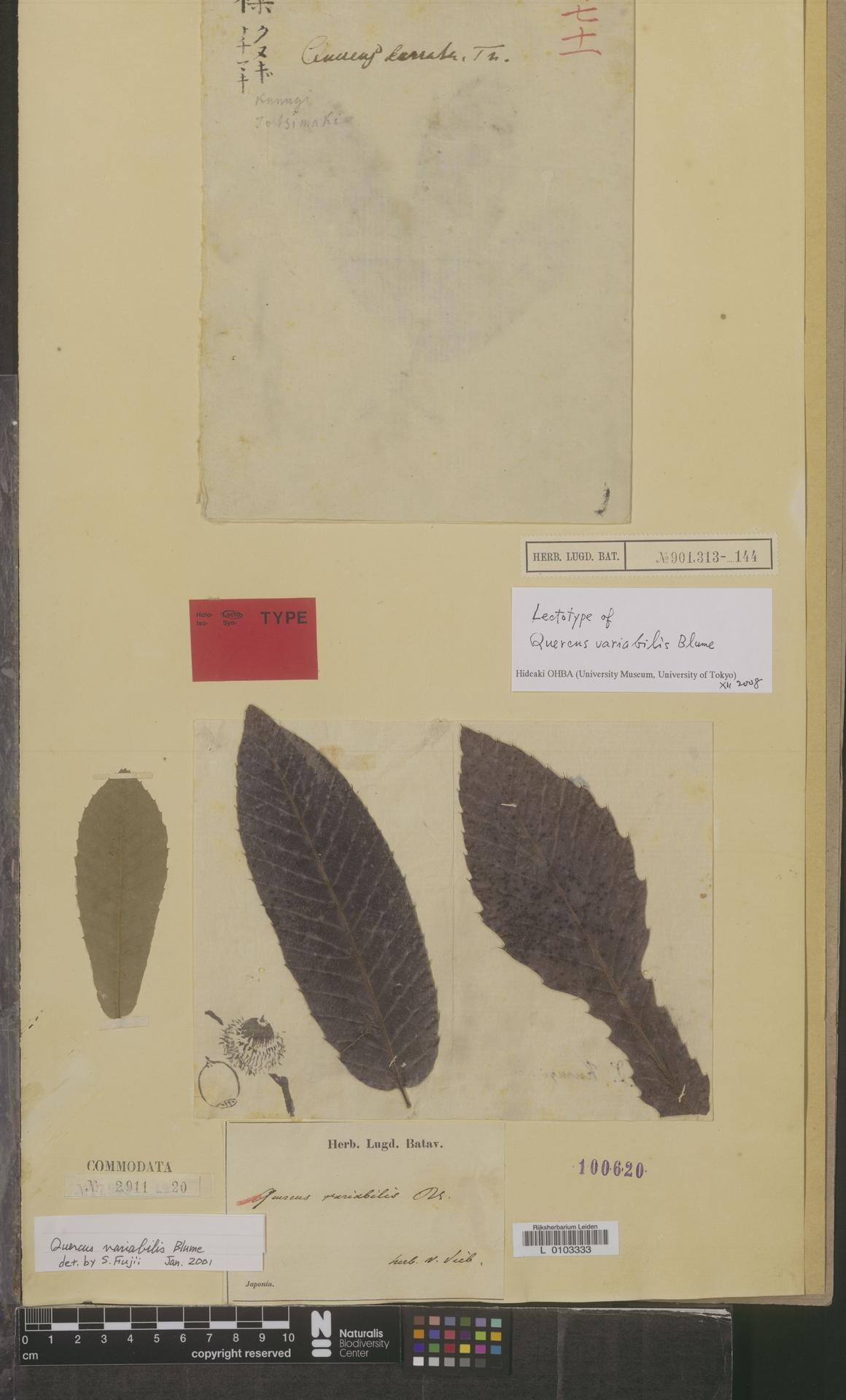 L  0103333 | Quercus variabilis Blume