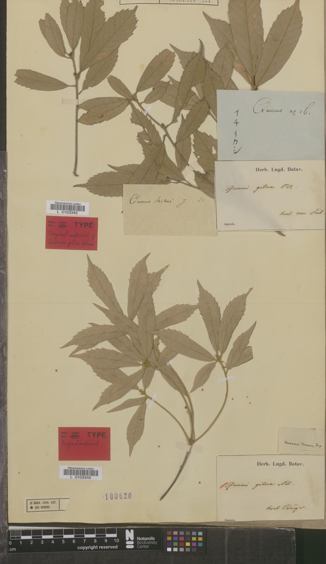L  0103345   Quercus gilva Blume