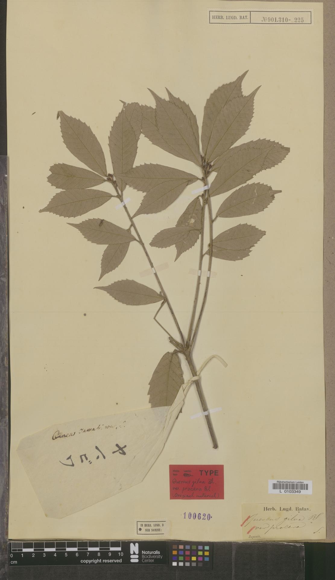 L  0103349 | Quercus gilva var. procera