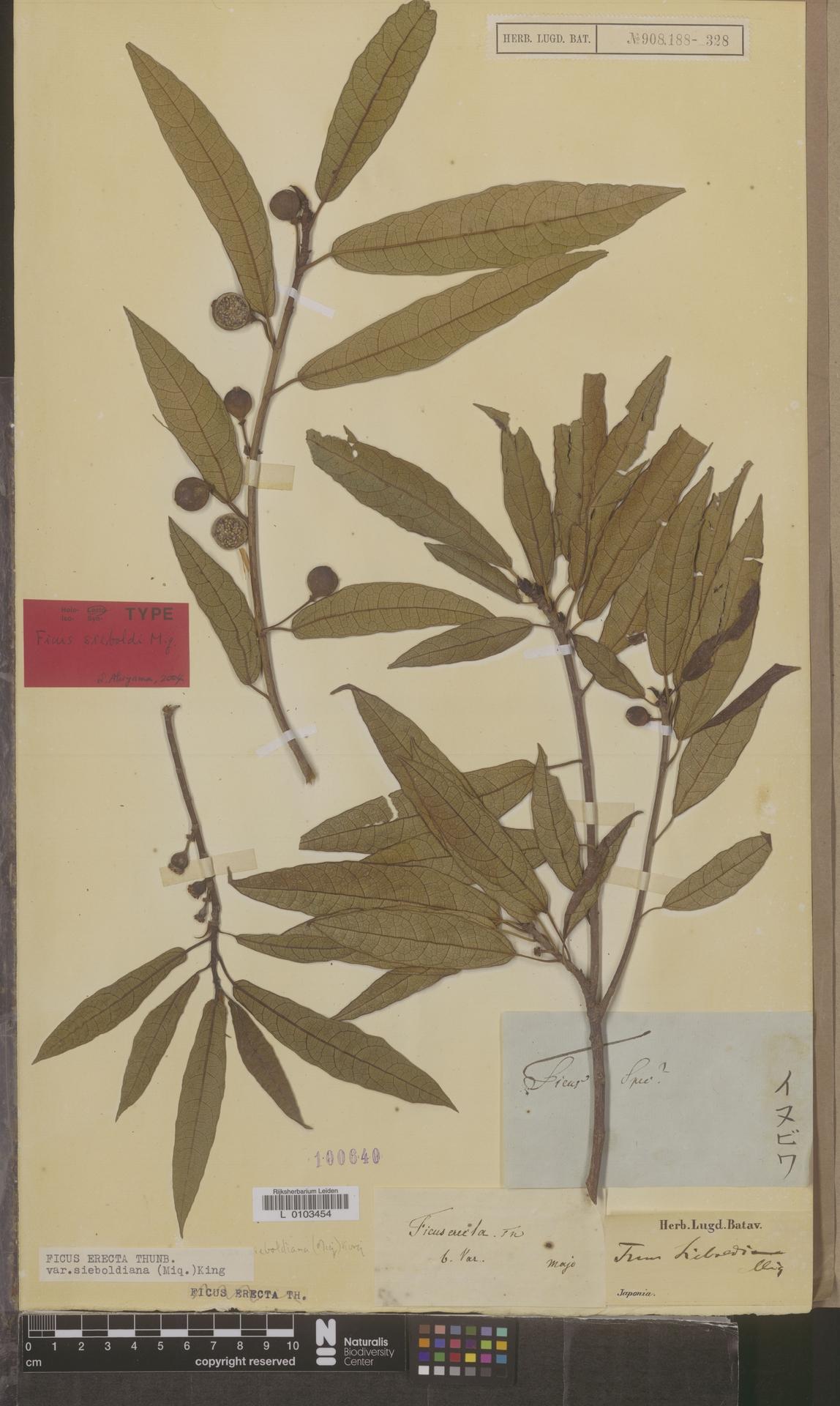 L  0103454 | Ficus erecta var. sieboldiana (Miq.) King