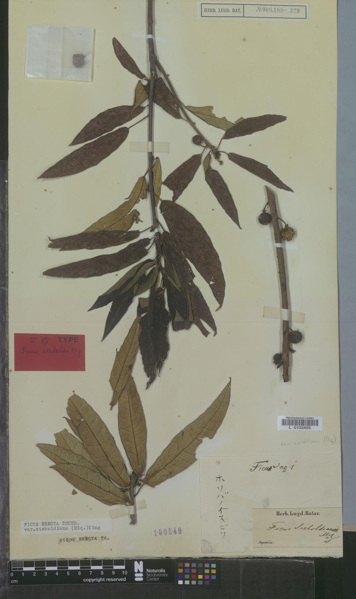 L  0103455 | Ficus erecta var. sieboldiana (Miq.) King