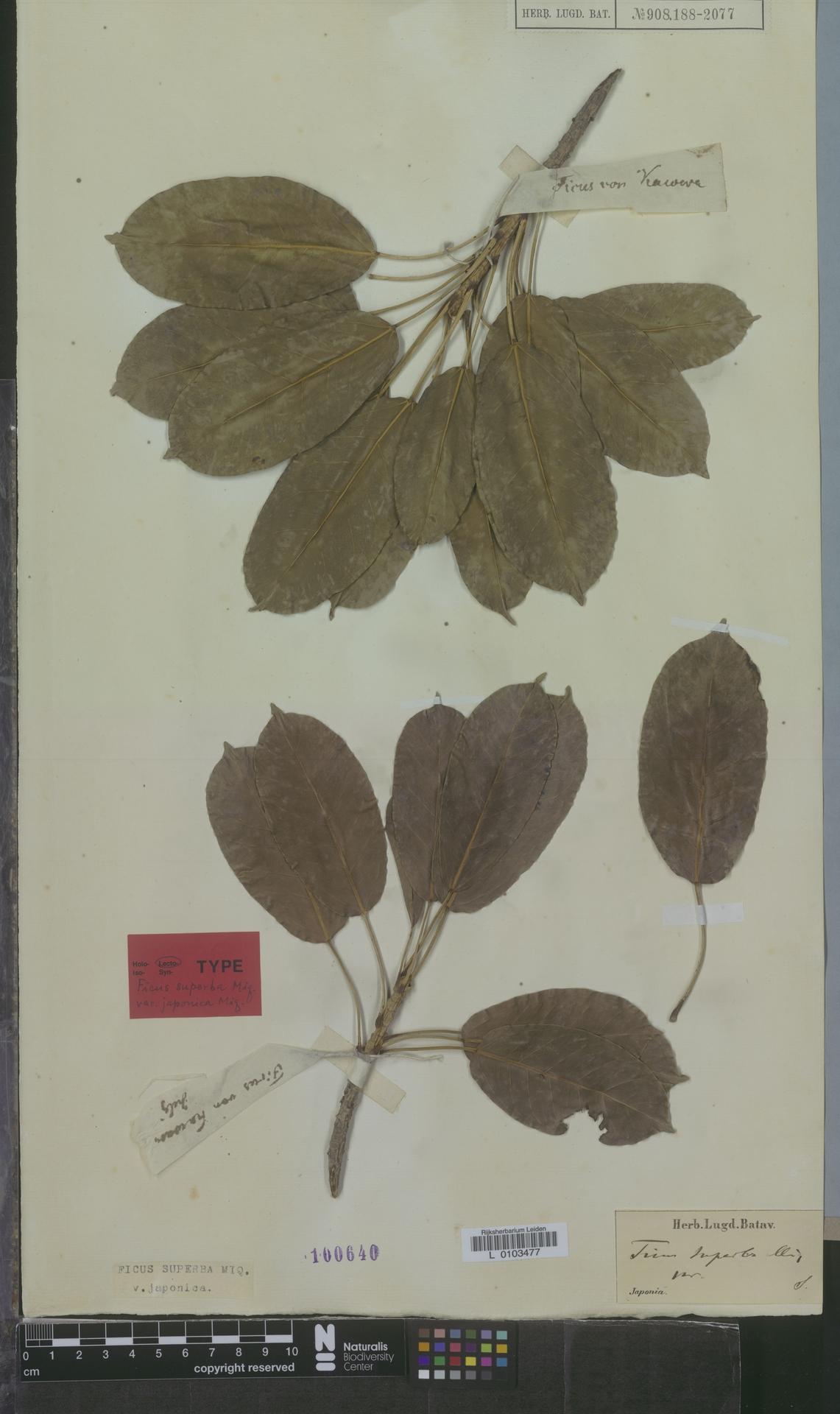 L  0103477 | Ficus superba var. japonica Miq.
