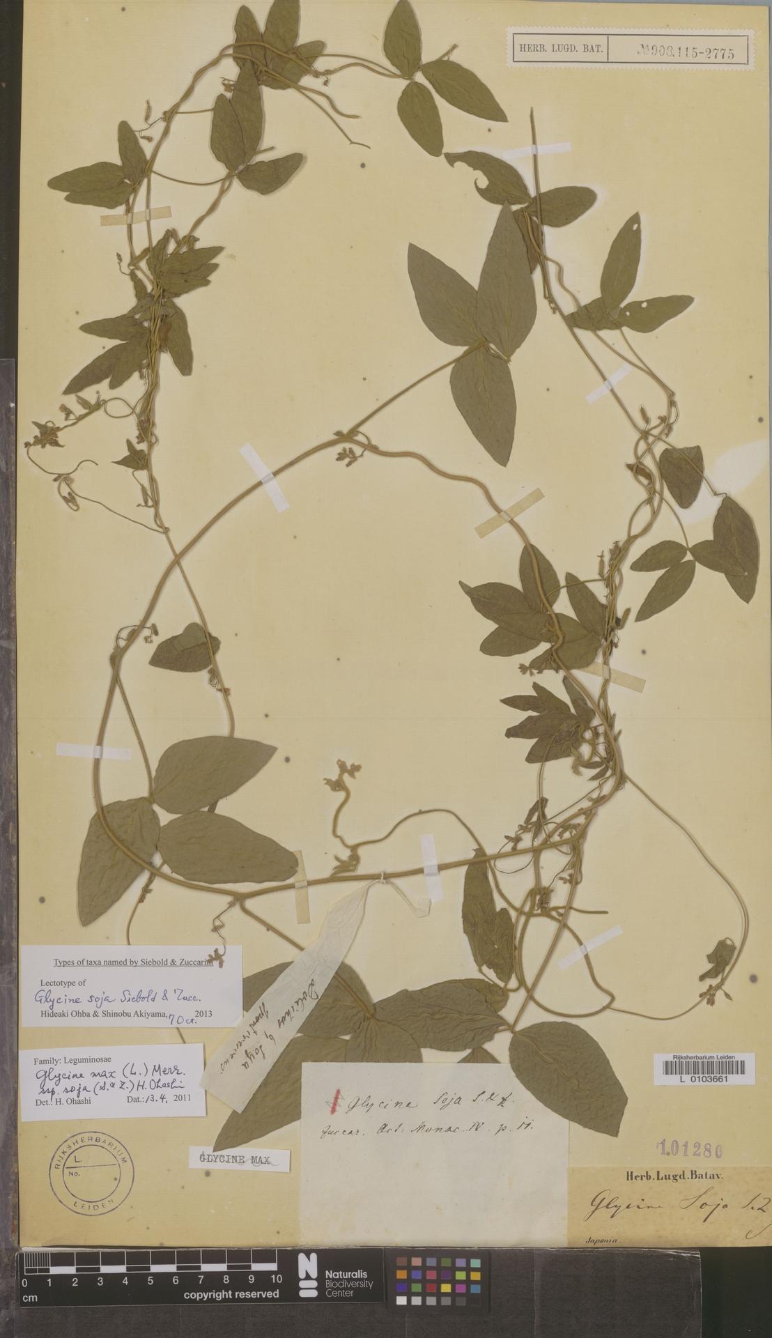 L  0103661 | Glycine max subsp. soja (Siebold & Zucc.) H.Ohashi