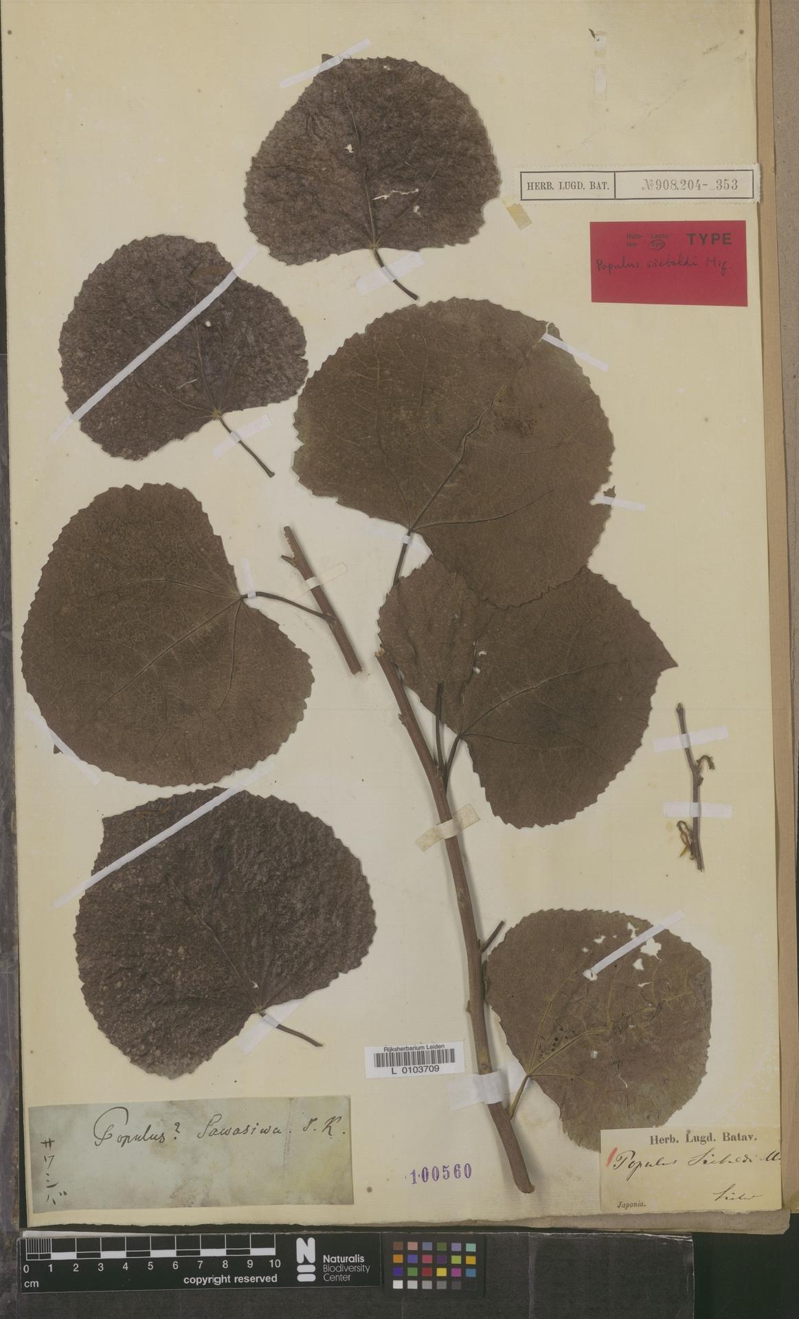 L  0103709 | Populus sieboldi Miq.