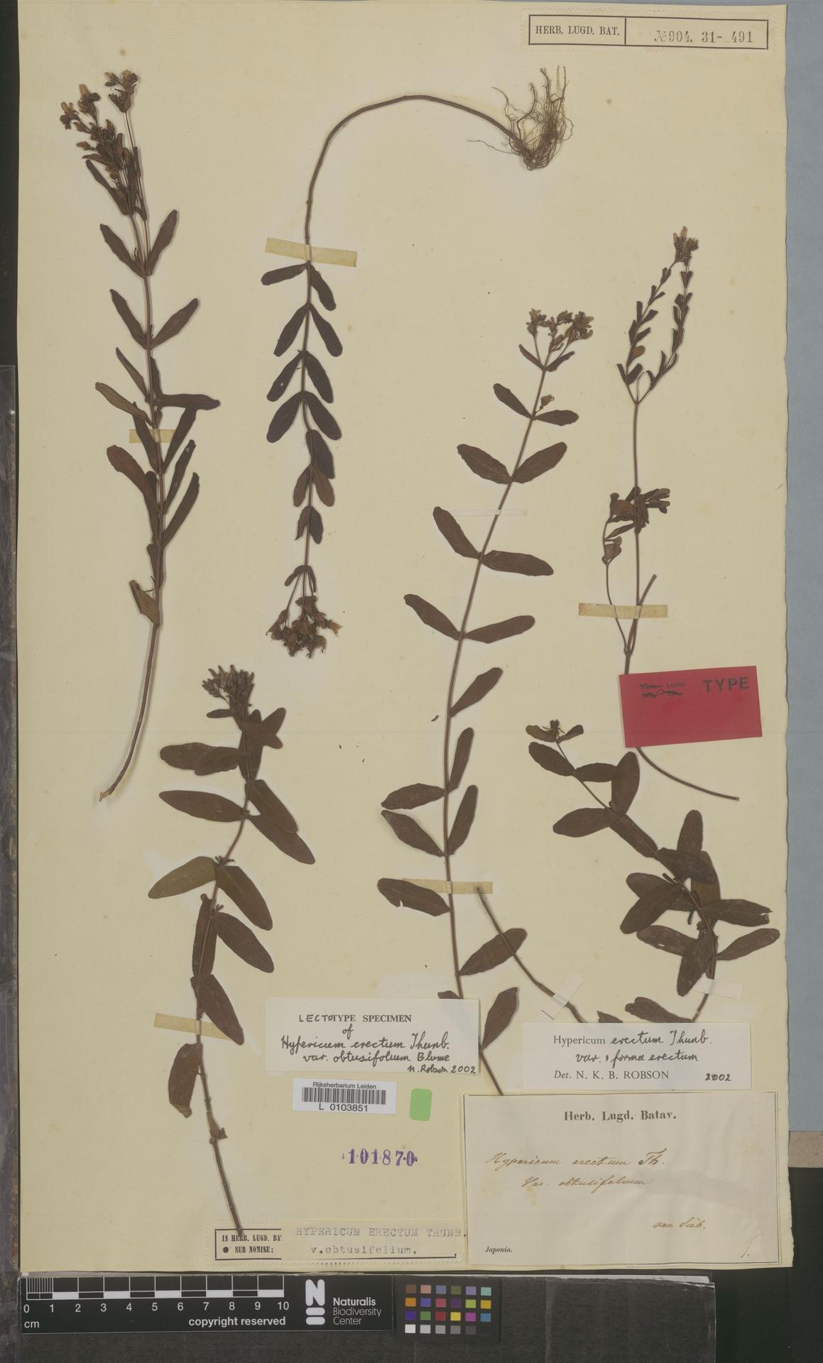 L  0103851 | Hypericum erectum var. obtusifolium