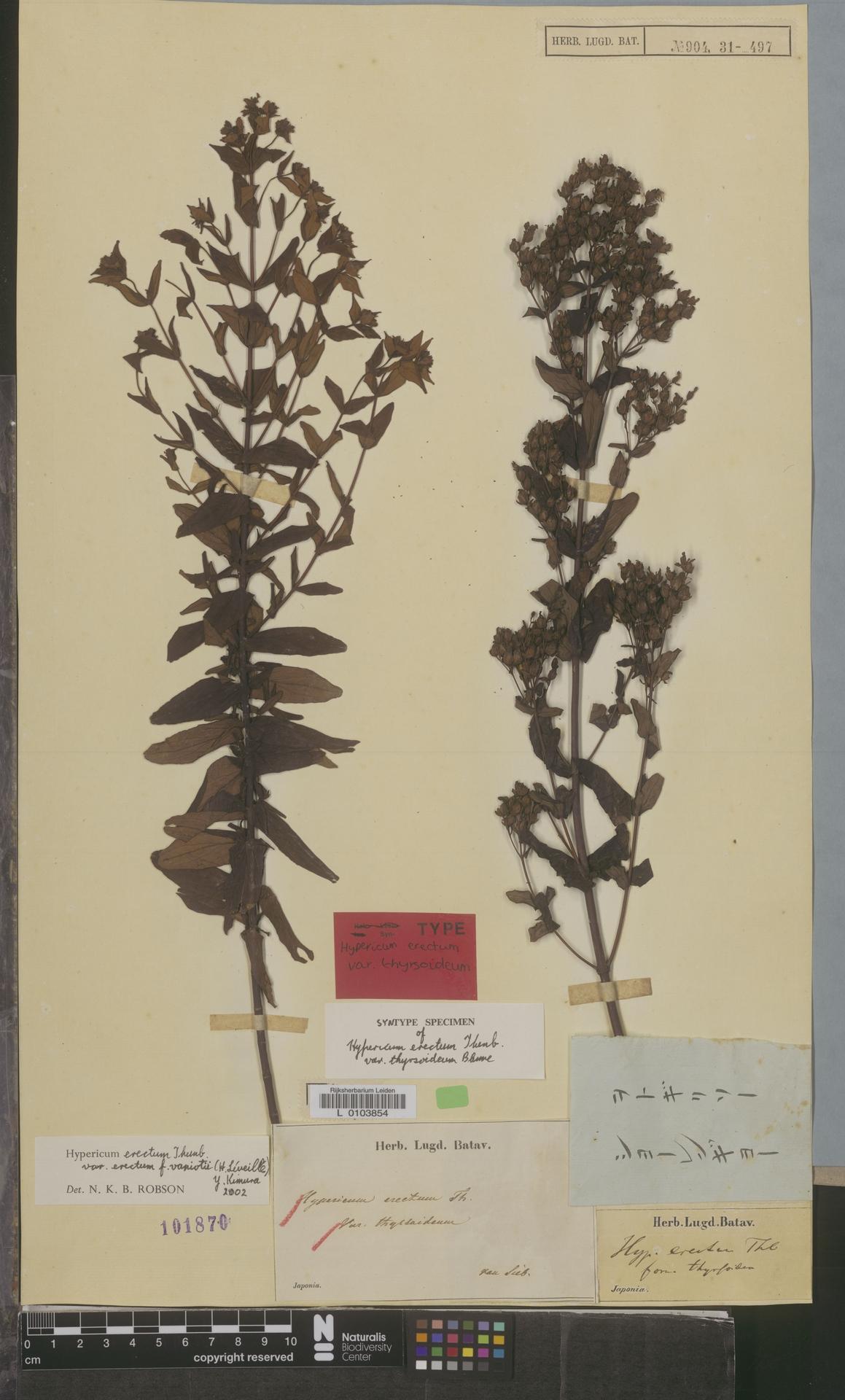 L  0103854 | Hypericum erectum var. thyrsoideum