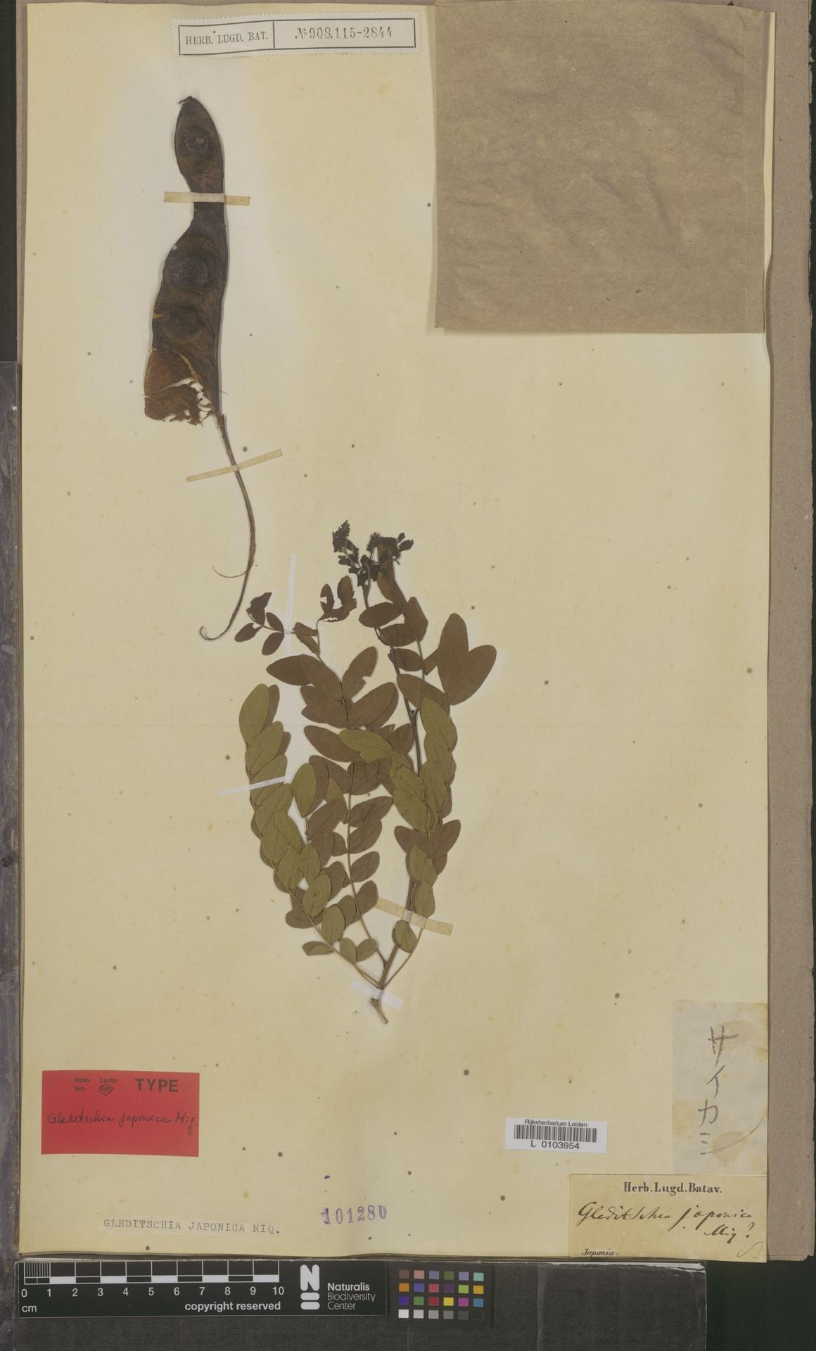 L  0103954 | Gleditsia japonica Miq.