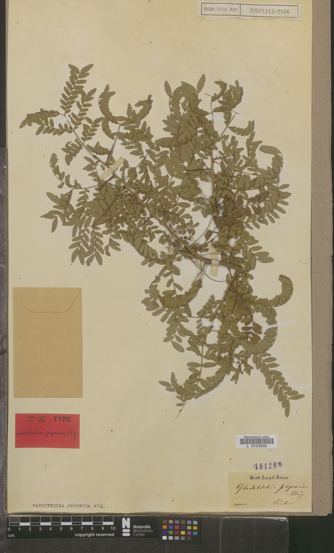L  0103956   Gleditsia japonica Miq.