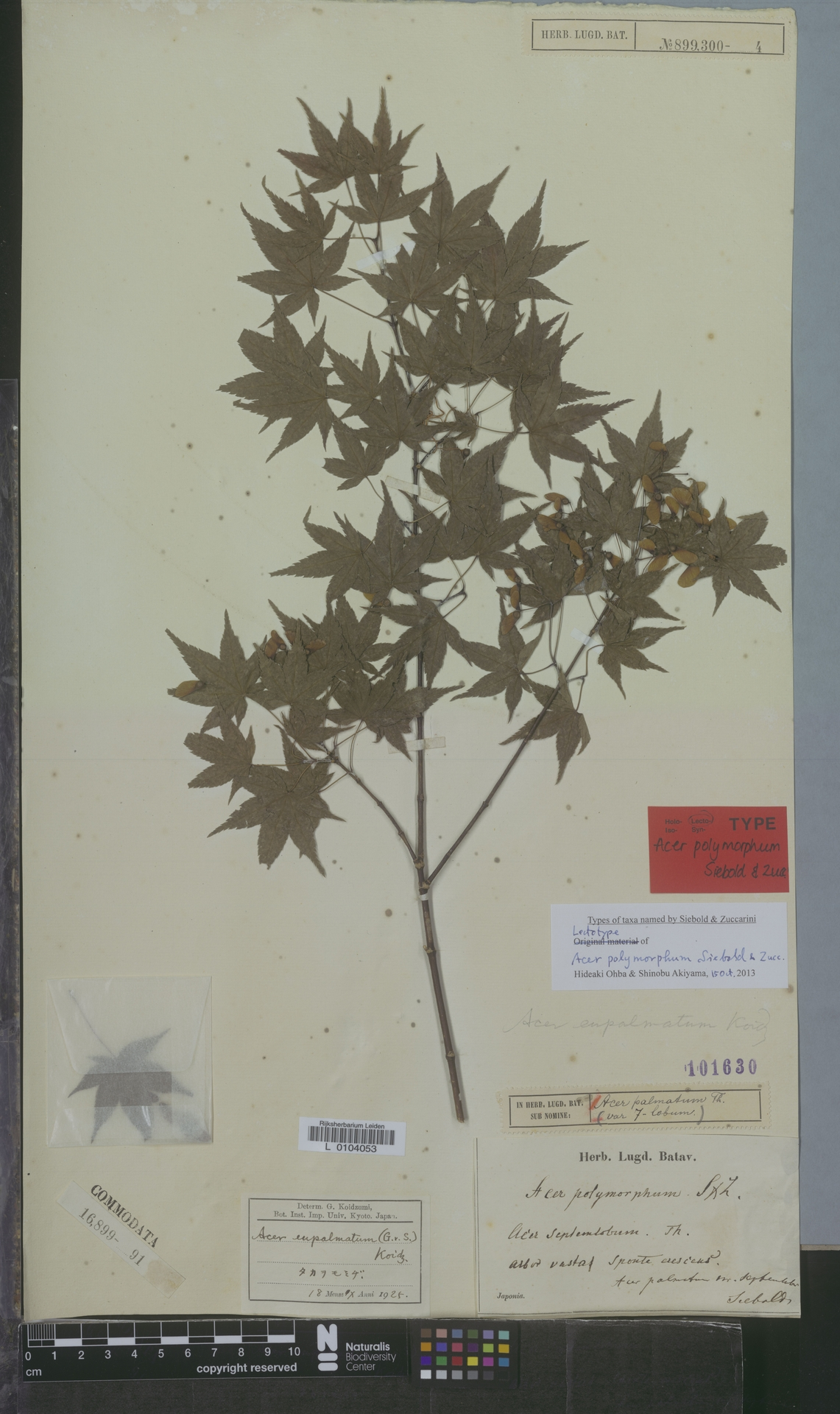 L  0104053 | Acer palmatum Thunb.