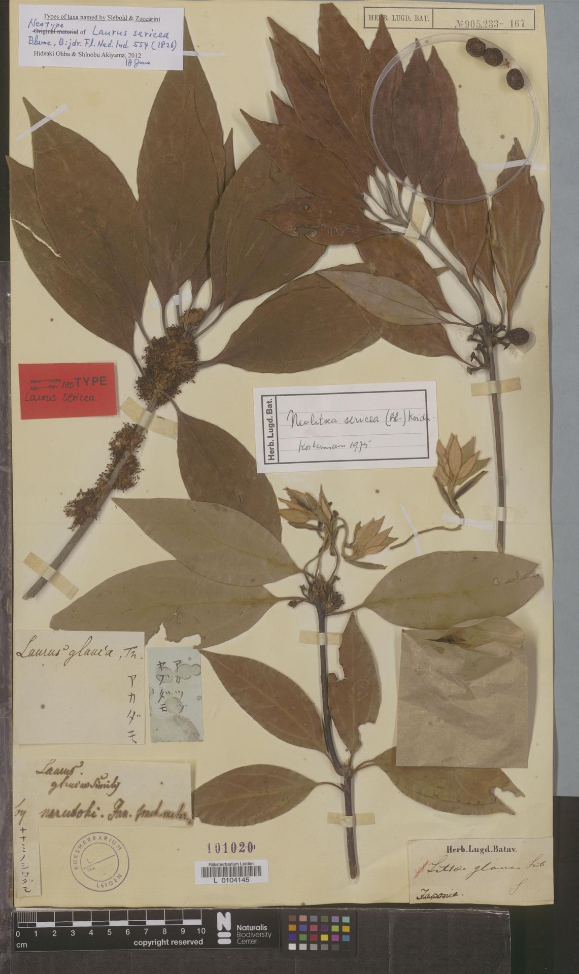 L  0104145 | Neolitsea sericea (Blume) Koidz.