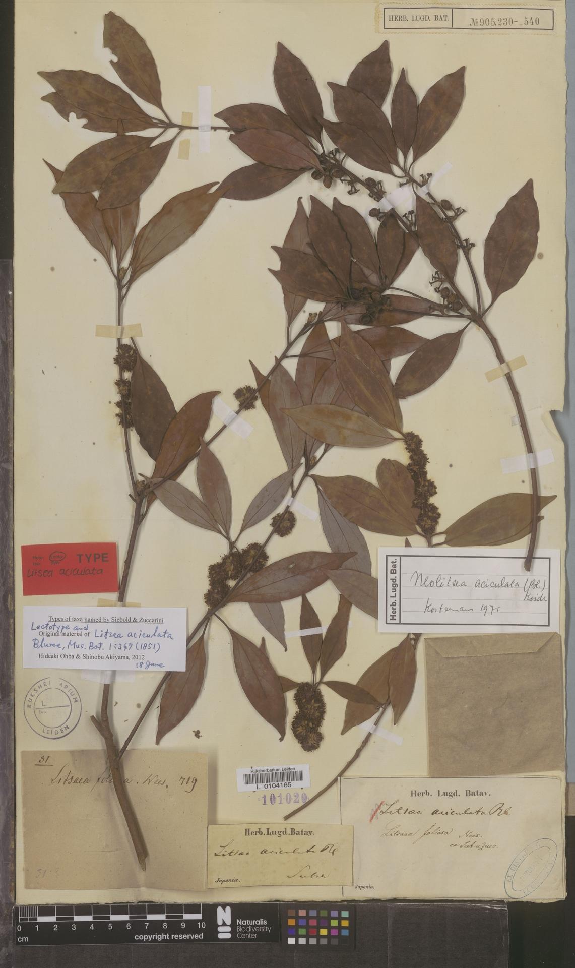 L  0104165 | Neolitsea aciculata (Blume) Koidz.