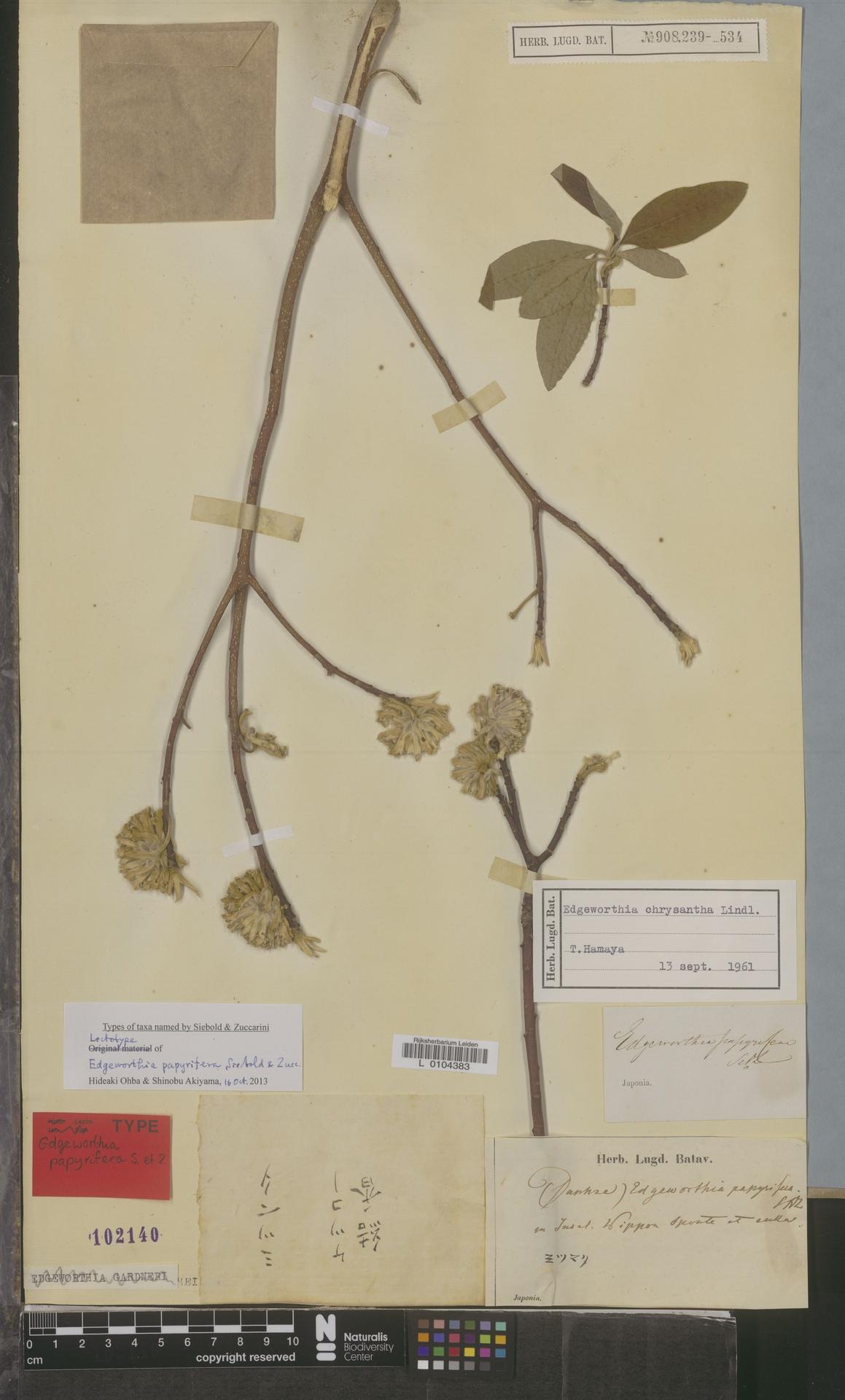 L  0104383   Edgeworthia chrysantha Lindl.