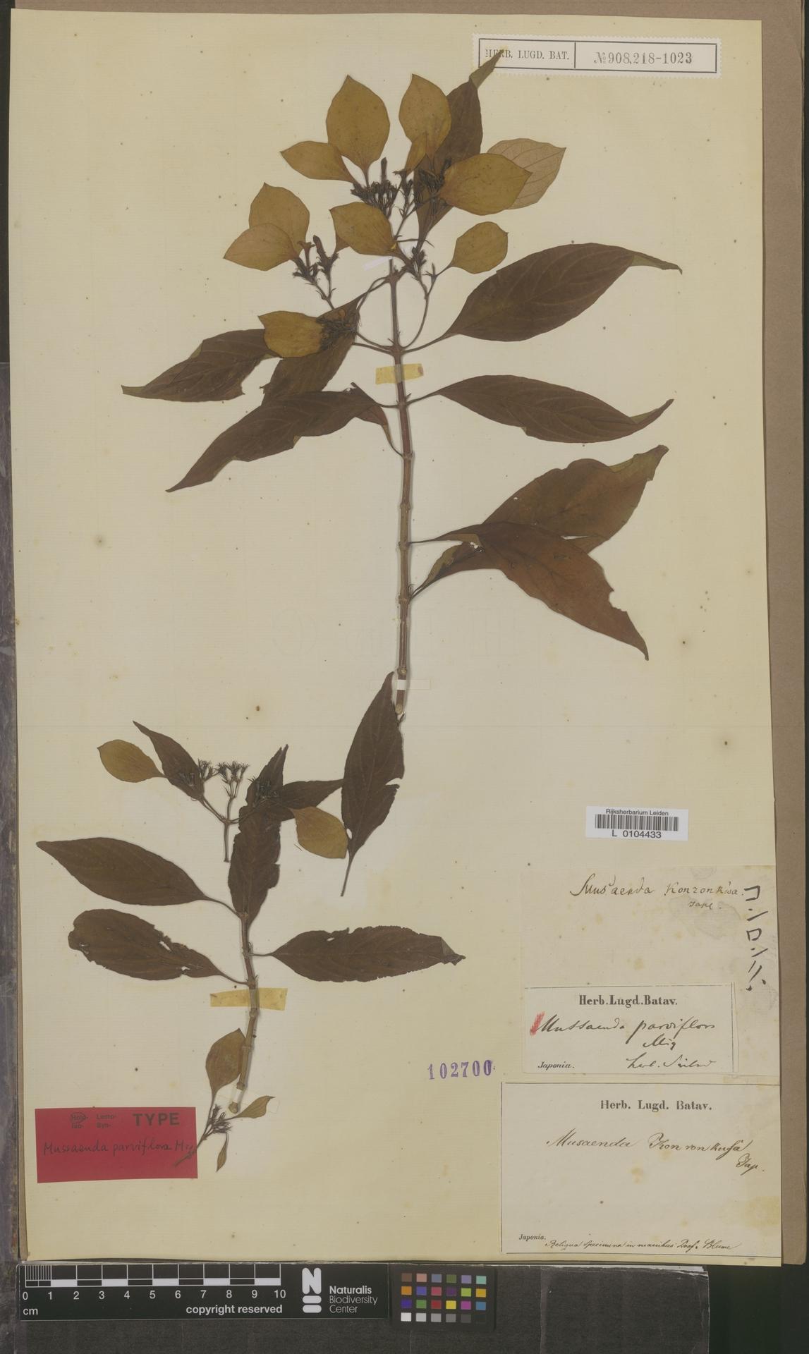 L  0104433 | Mussaenda parviflora Miq.