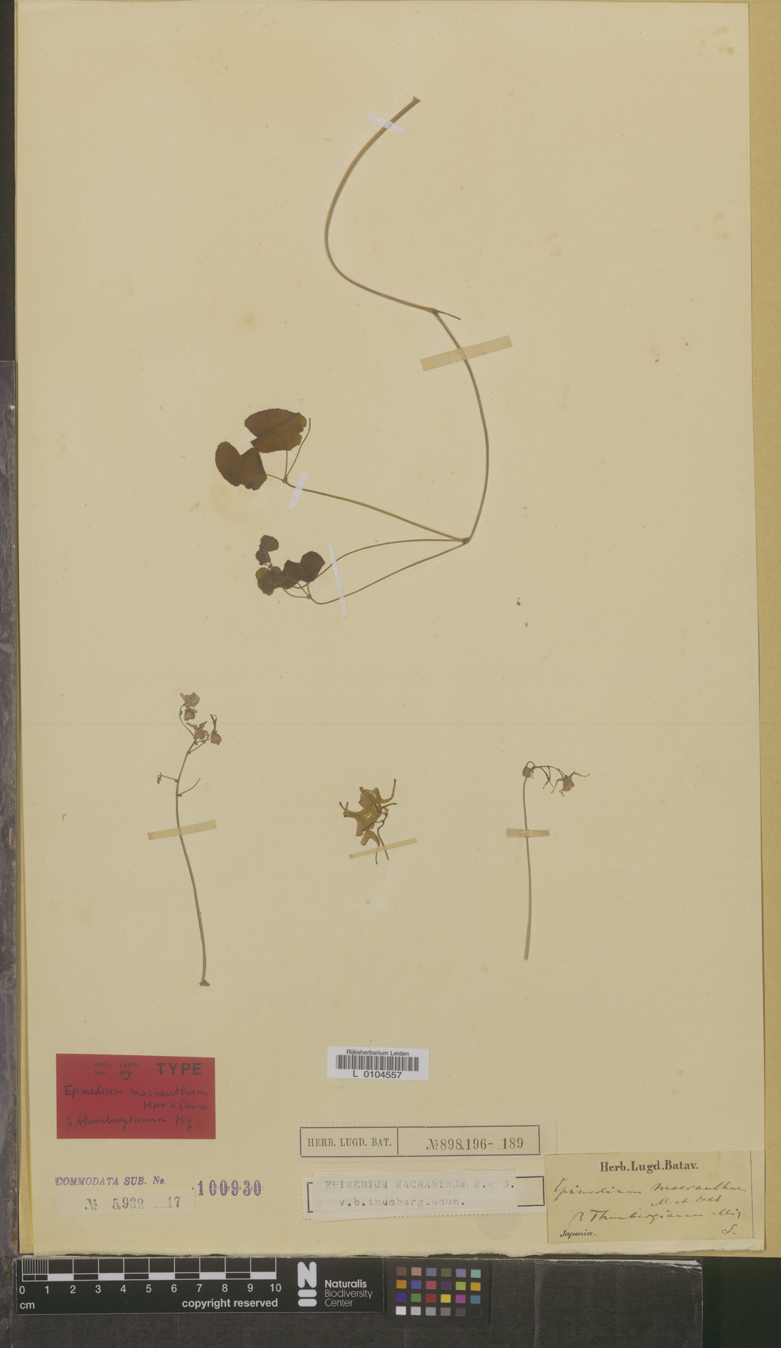 L  0104557   Epimedium macranthum var. thunbergianum Miq.