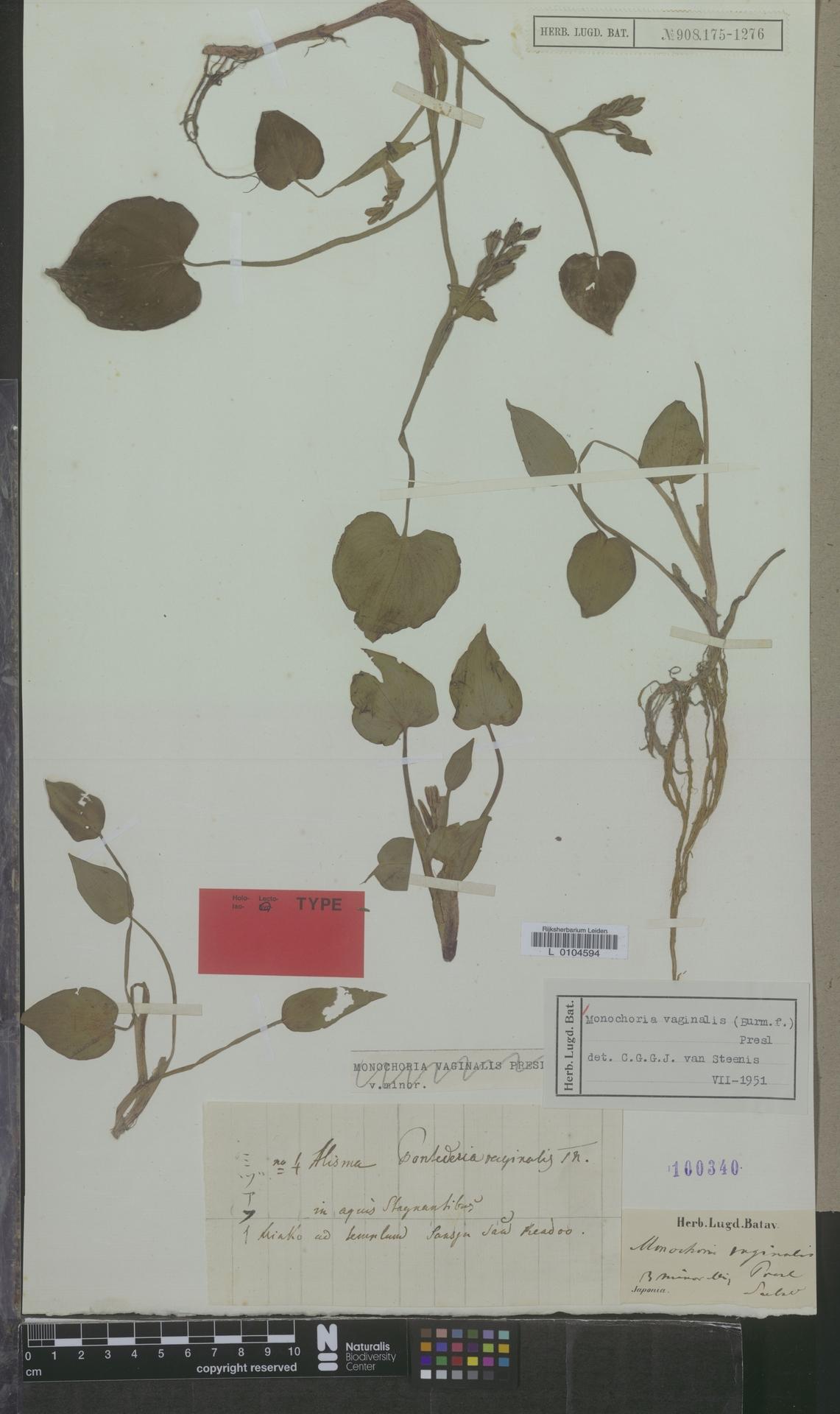 L  0104594 | Monochoria vaginalis (Burm.f.) C.Presl
