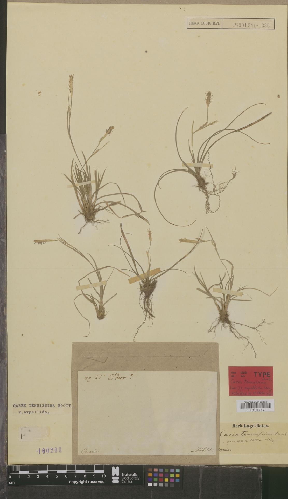 L  0104717 | Carex tenuissima var. expallida Miq.