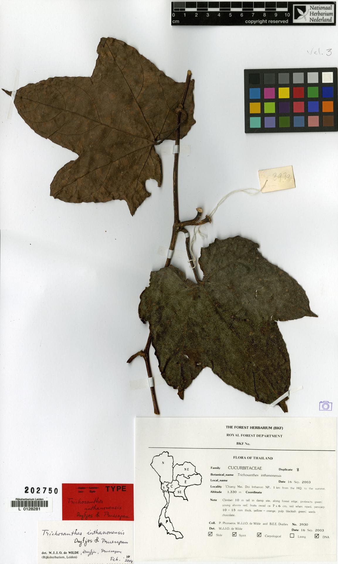 L  0128281   Trichosanthes inthanonensis Duyfjes & Pruesapan