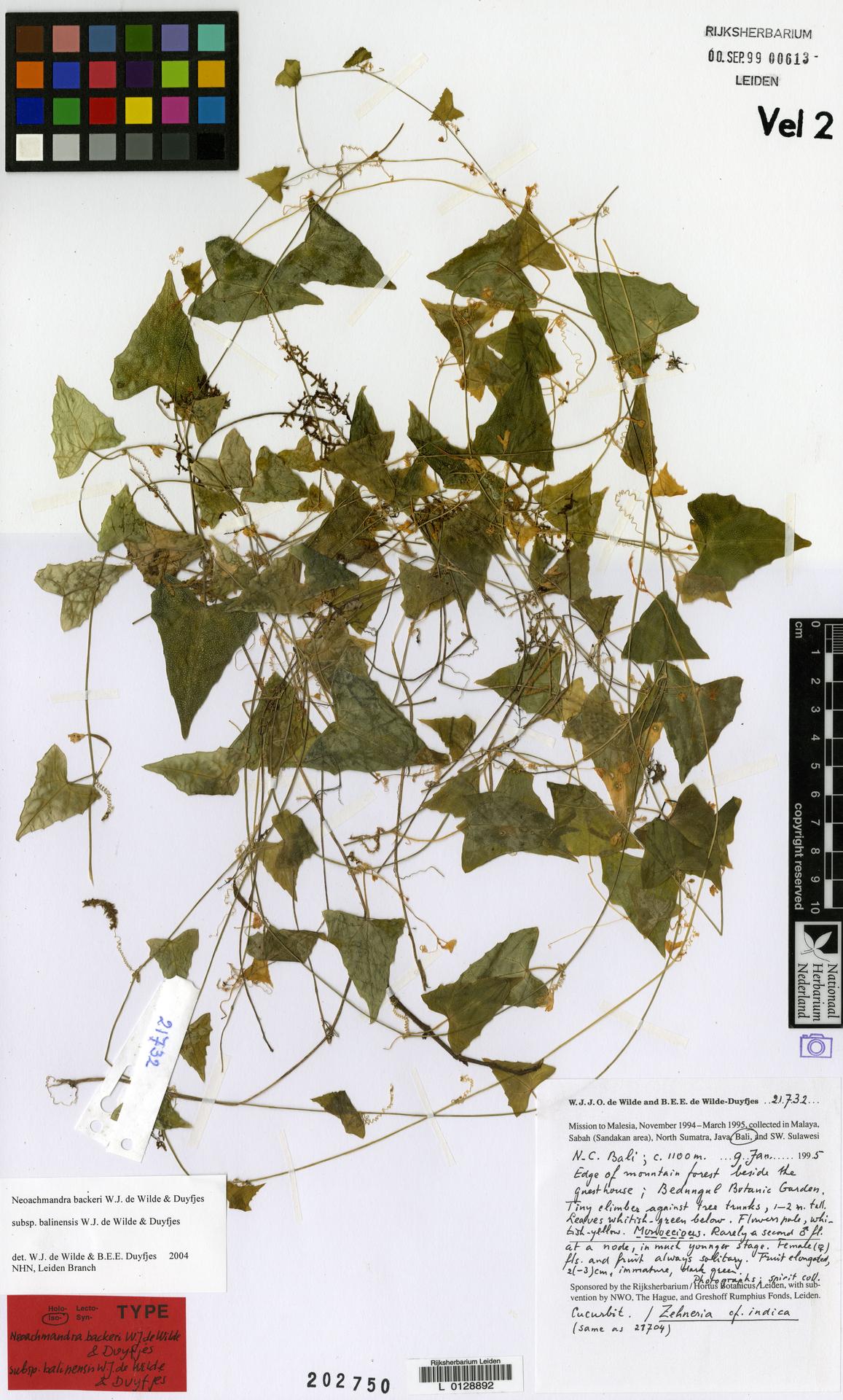 L  0128892   Neoachmandra backeri subsp. balinensis W.J.de Wilde & Duyfjes