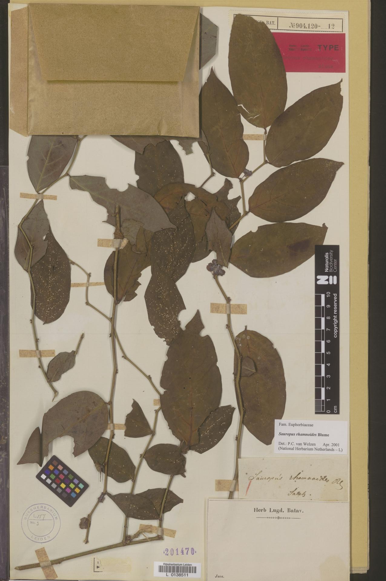 L  0138511 | Sauropus rhamnoides Blume