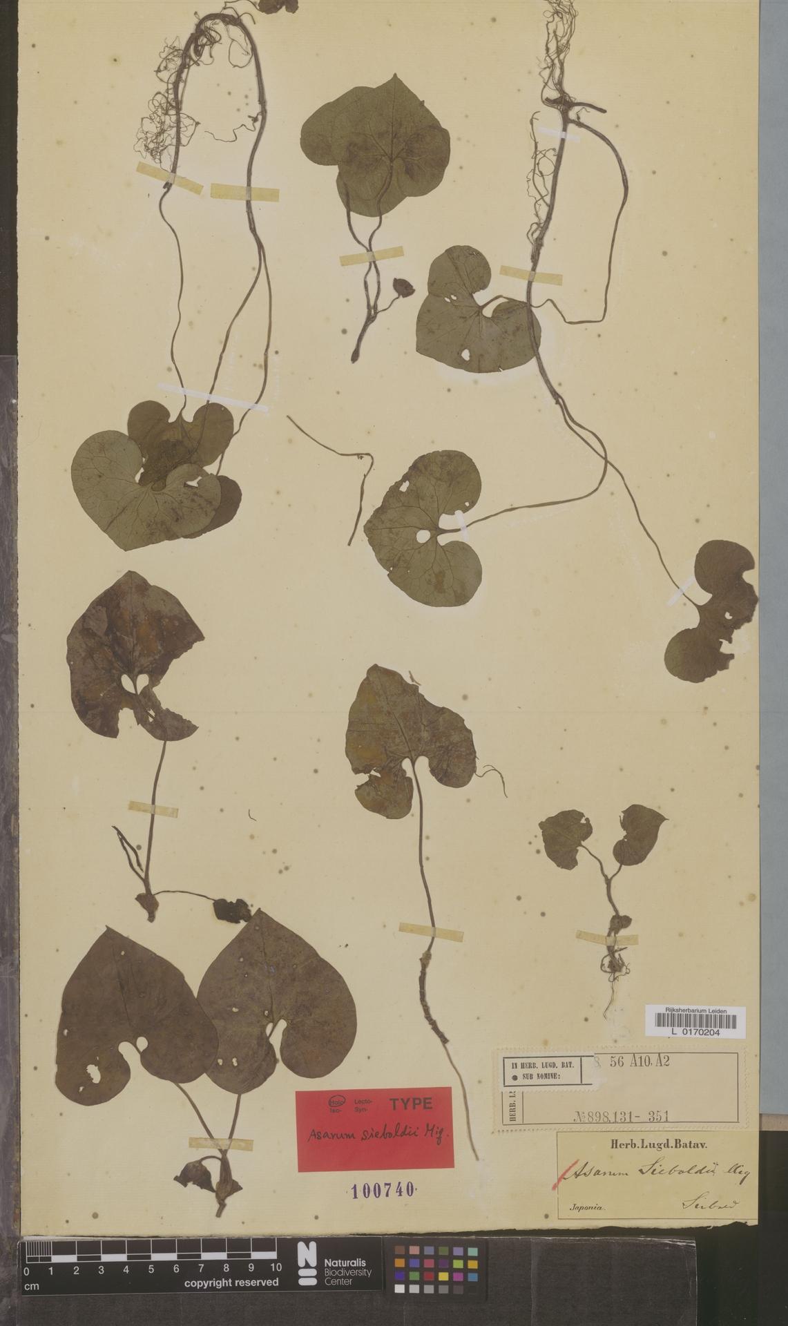 L  0170204 | Asarum sieboldii Miq.