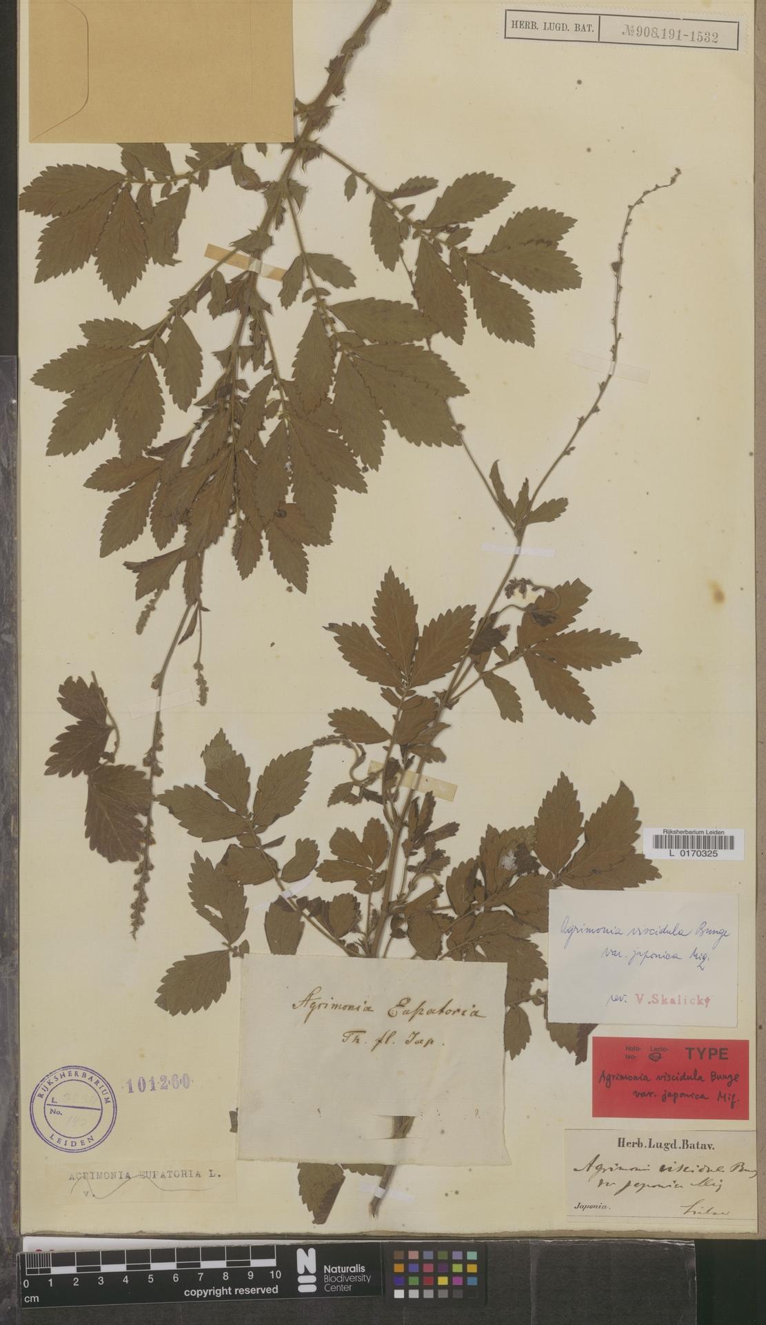 L  0170325 | Agrimonia viscidula var. japonica Miq.