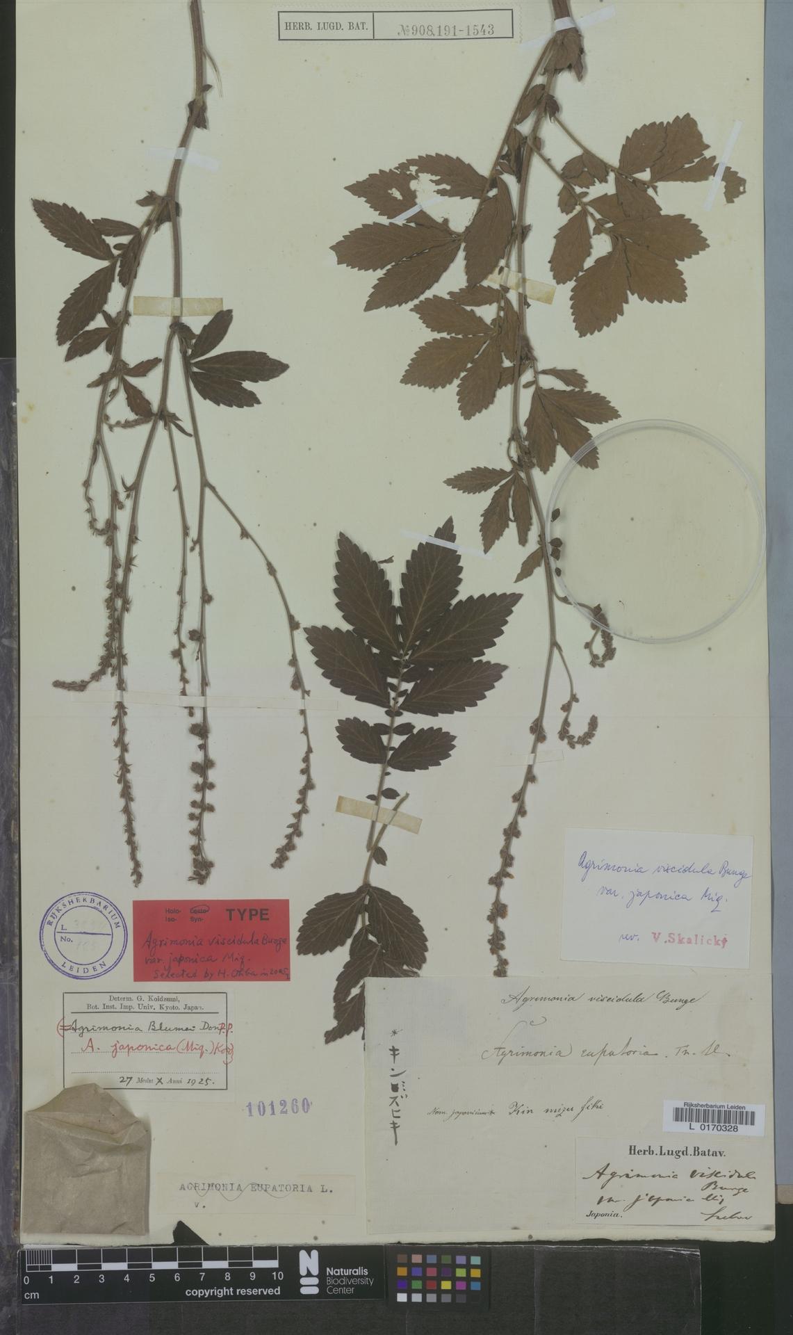 L  0170328 | Agrimonia viscidula var. japonica Miq.