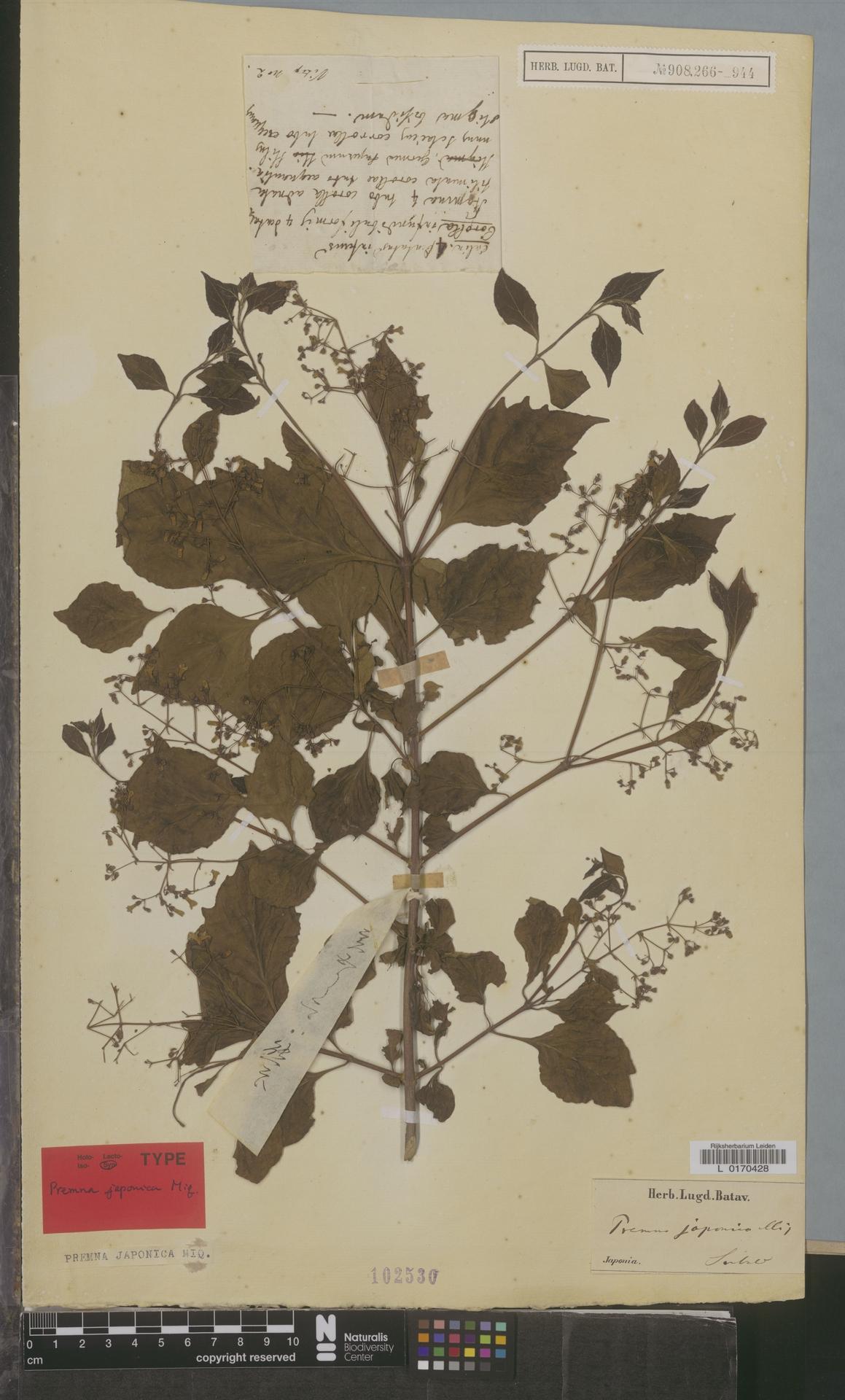 L  0170428 | Premna japonica Miq.