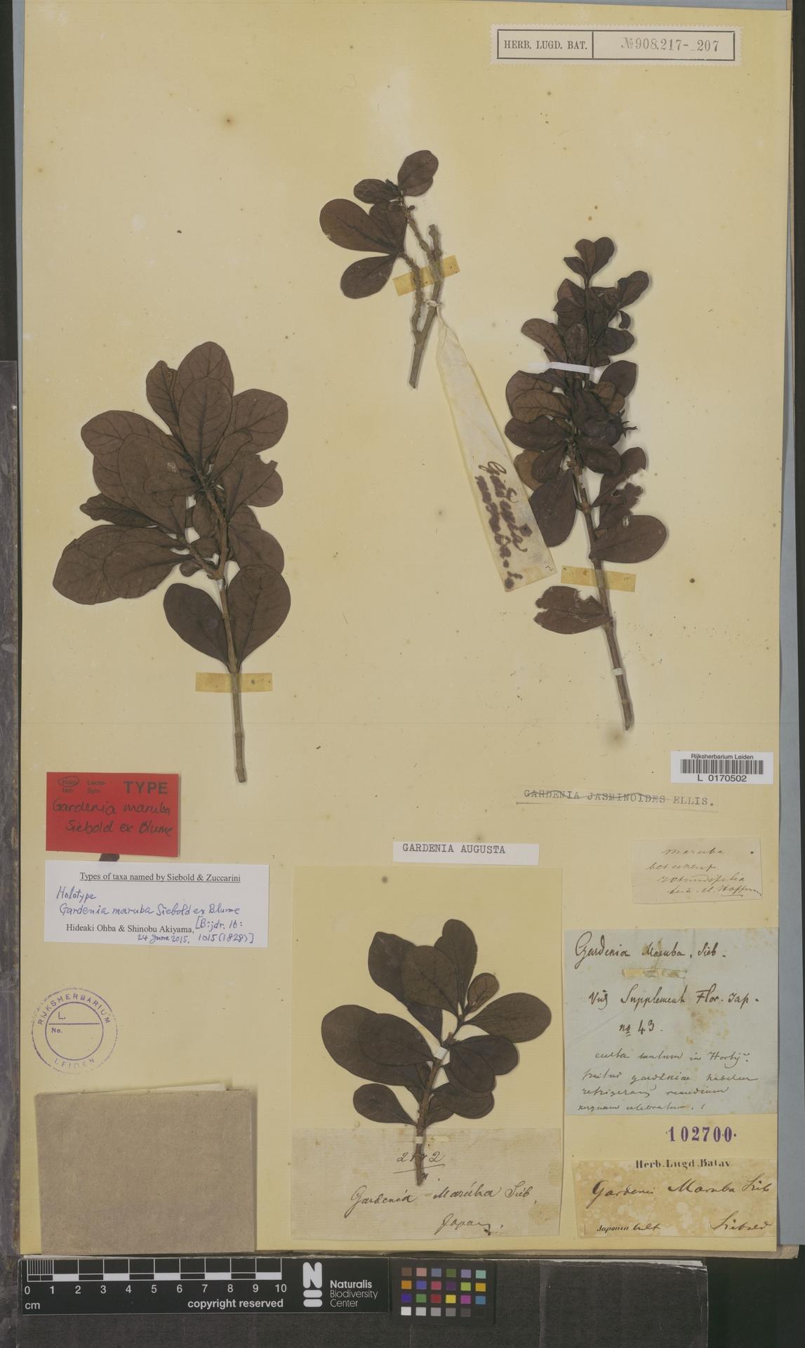 L  0170502 | Gardenia augusta (L.) Merr.