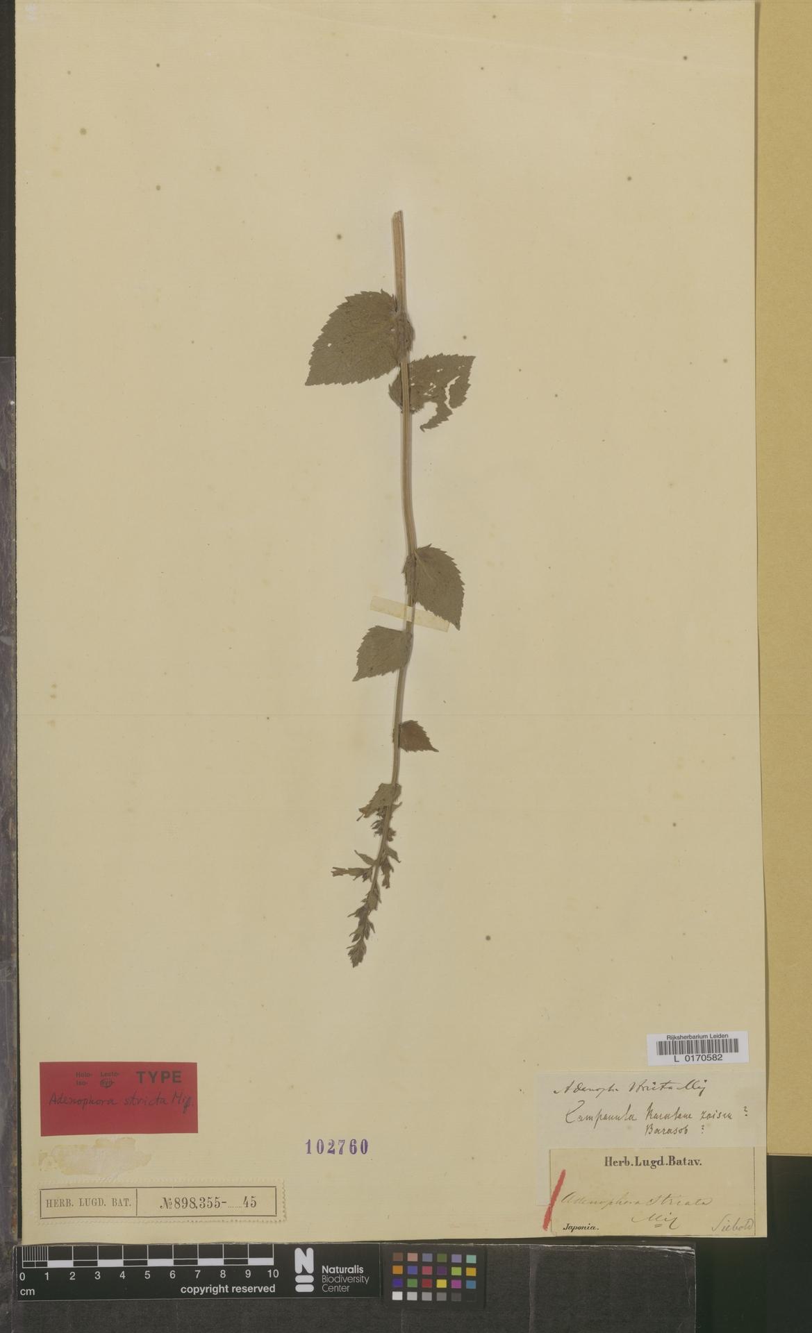 L  0170582 | Adenophora stricta Miq.