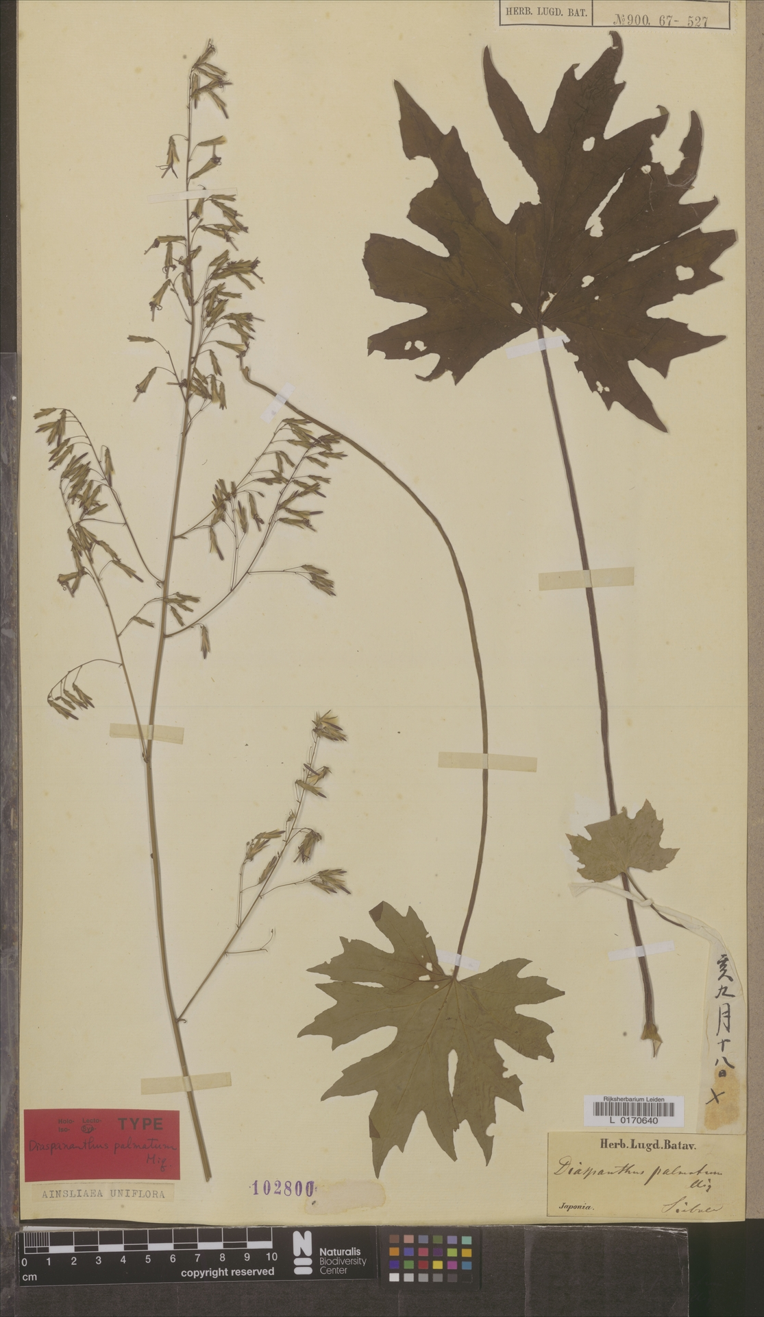 L  0170640 | Ainsliaea uniflora Sch.Bip.
