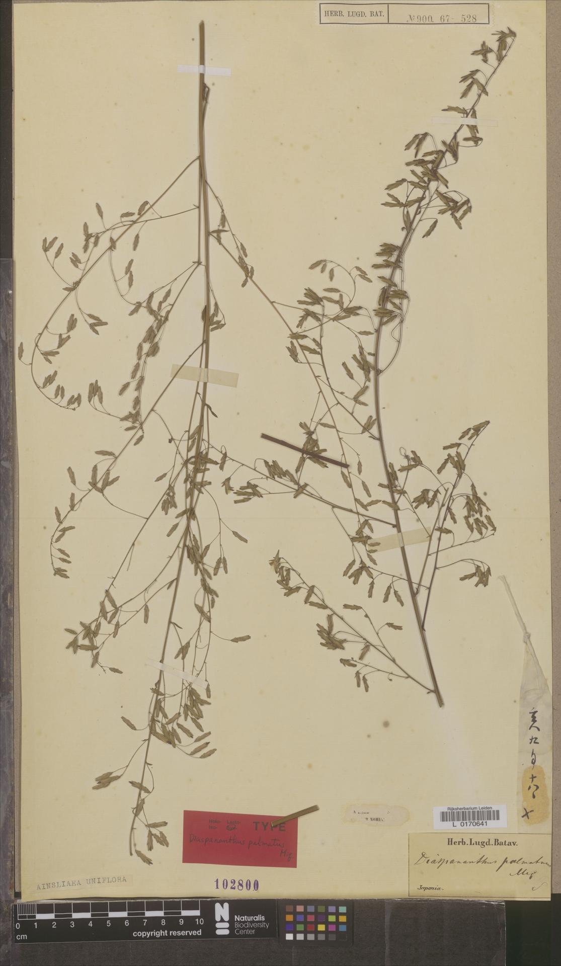 L  0170641 | Ainsliaea uniflora Sch.Bip.