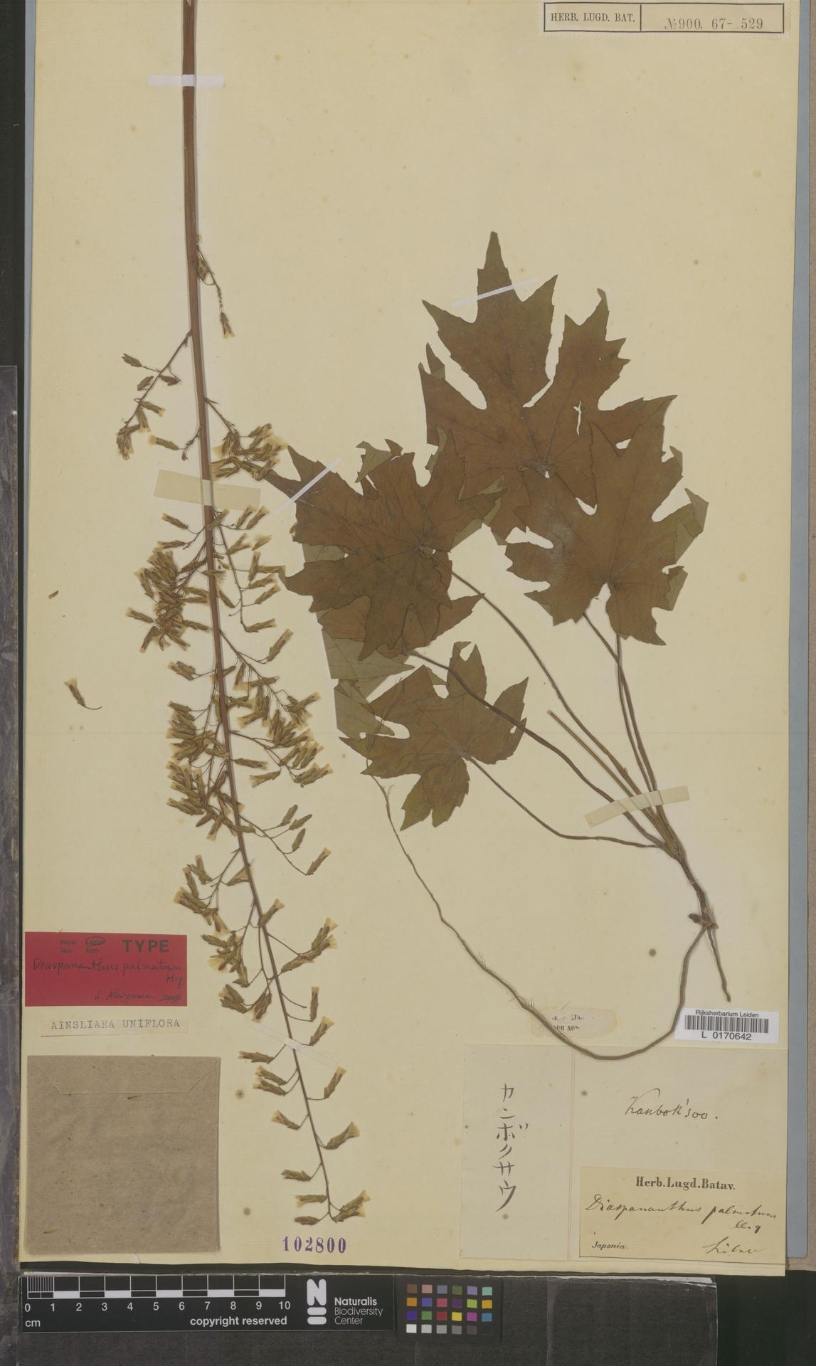 L  0170642 | Ainsliaea uniflora Sch.Bip.