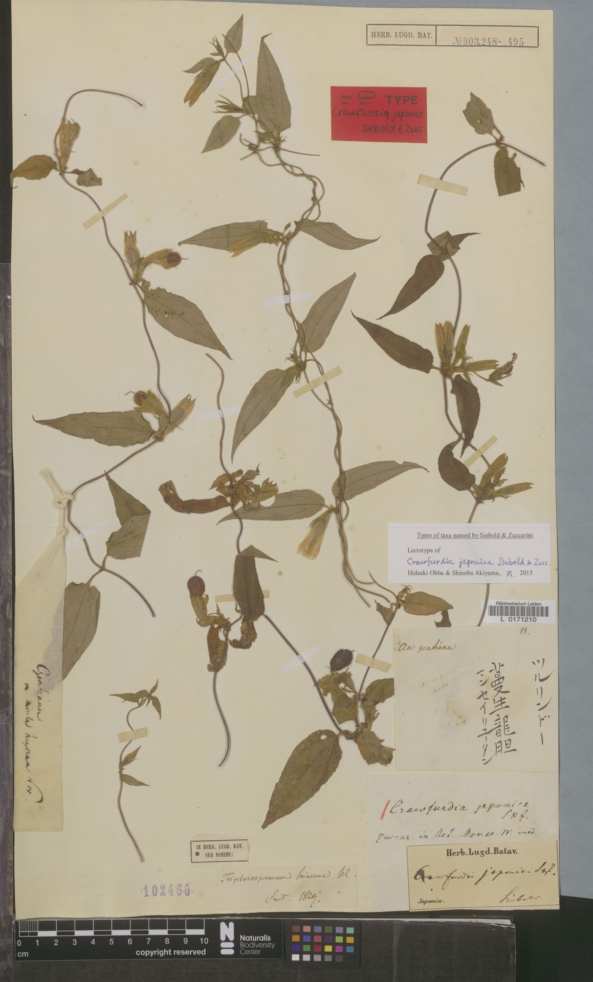 L  0171210 | Crawfurdia japonica Siebold & Zucc.