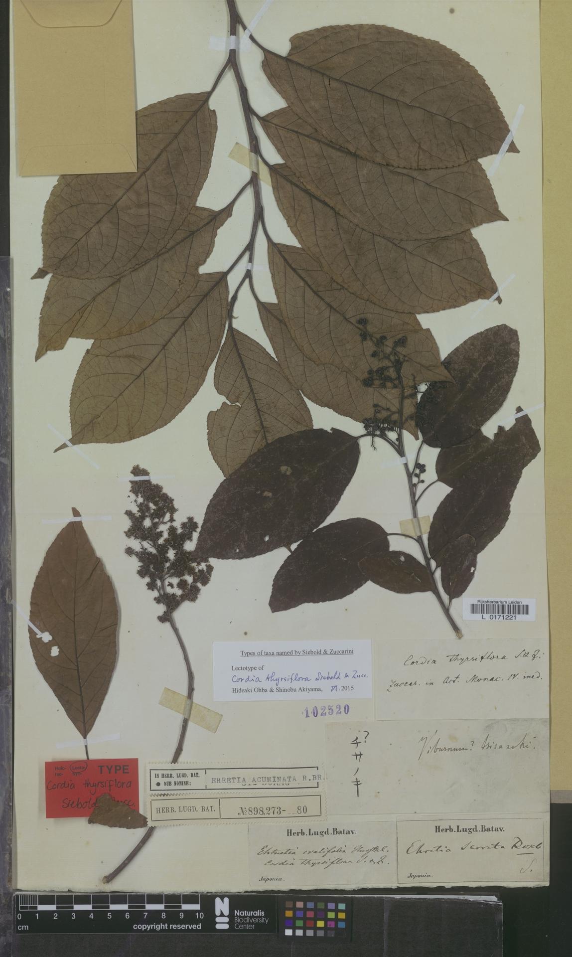 L  0171221   Ehretia acuminata R.Br.