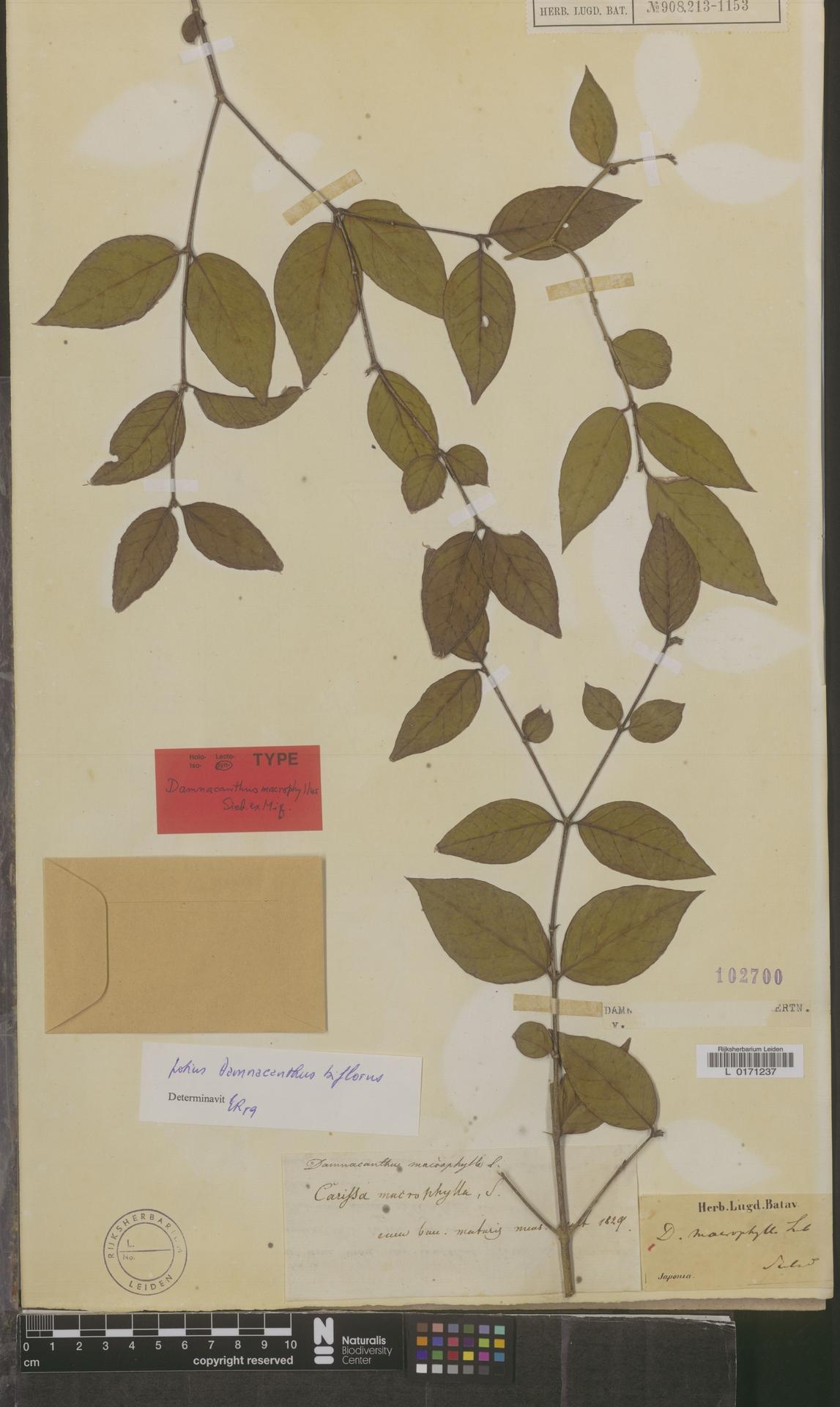 L  0171237 | Damnacanthus biflorus Koidz.