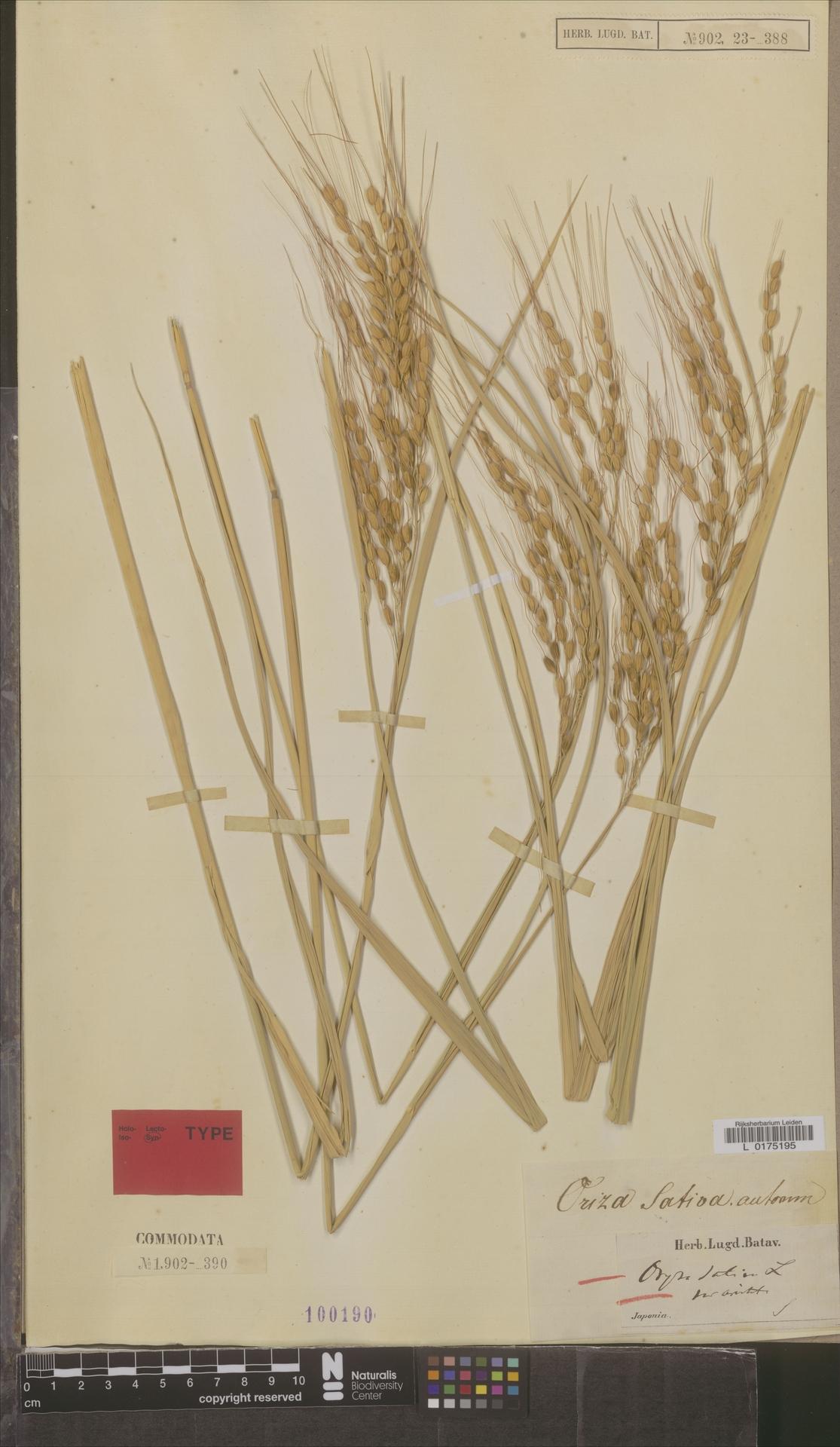 L  0175195 | Oryza sativa var. aristata A.Rich.