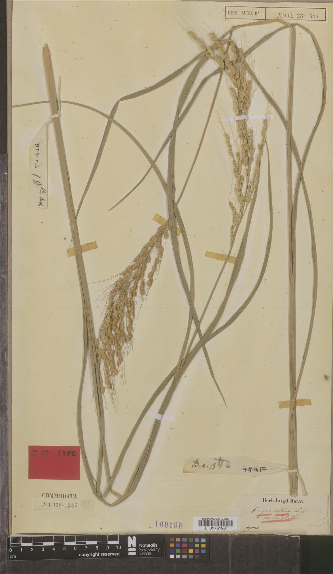 L  0175196 | Oryza sativa var. aristata A.Rich.