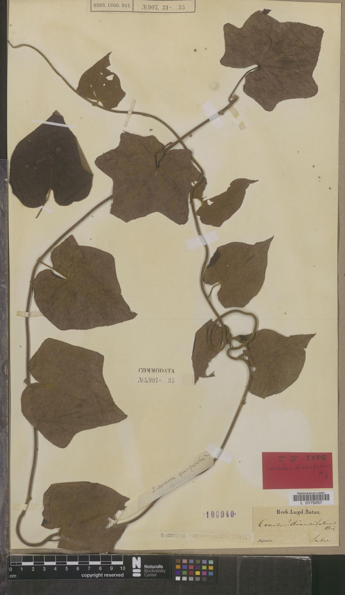 L  0175257 | Cocculus diversifolius Miq.