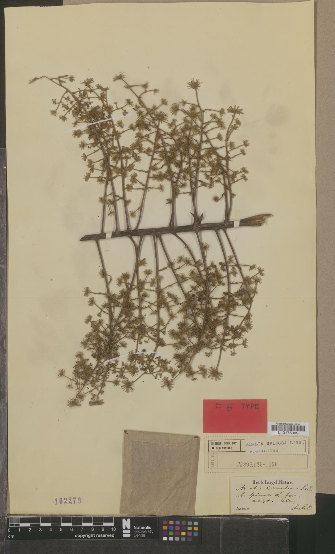 L  0175399 | Aralia spinosa var. asiatica