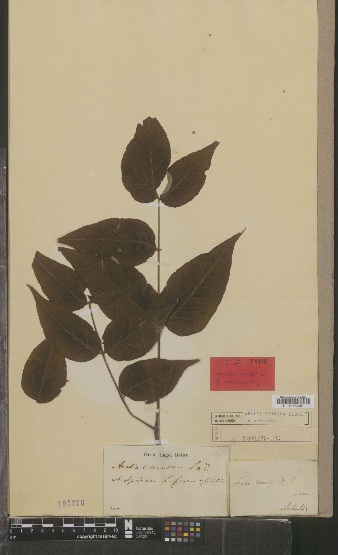 L  0175402 | Aralia spinosa var. asiatica