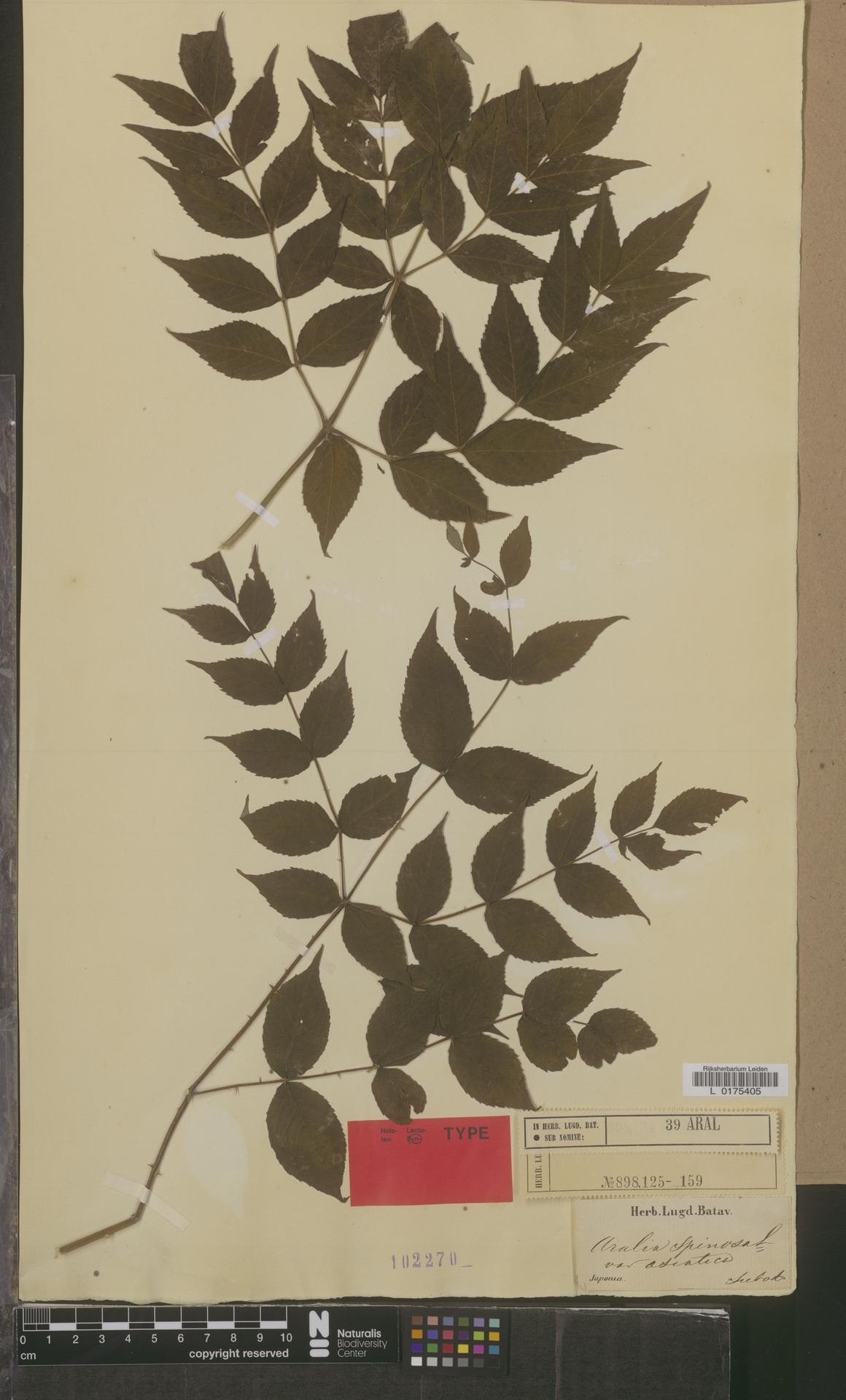 L  0175405 | Aralia spinosa var. asiatica
