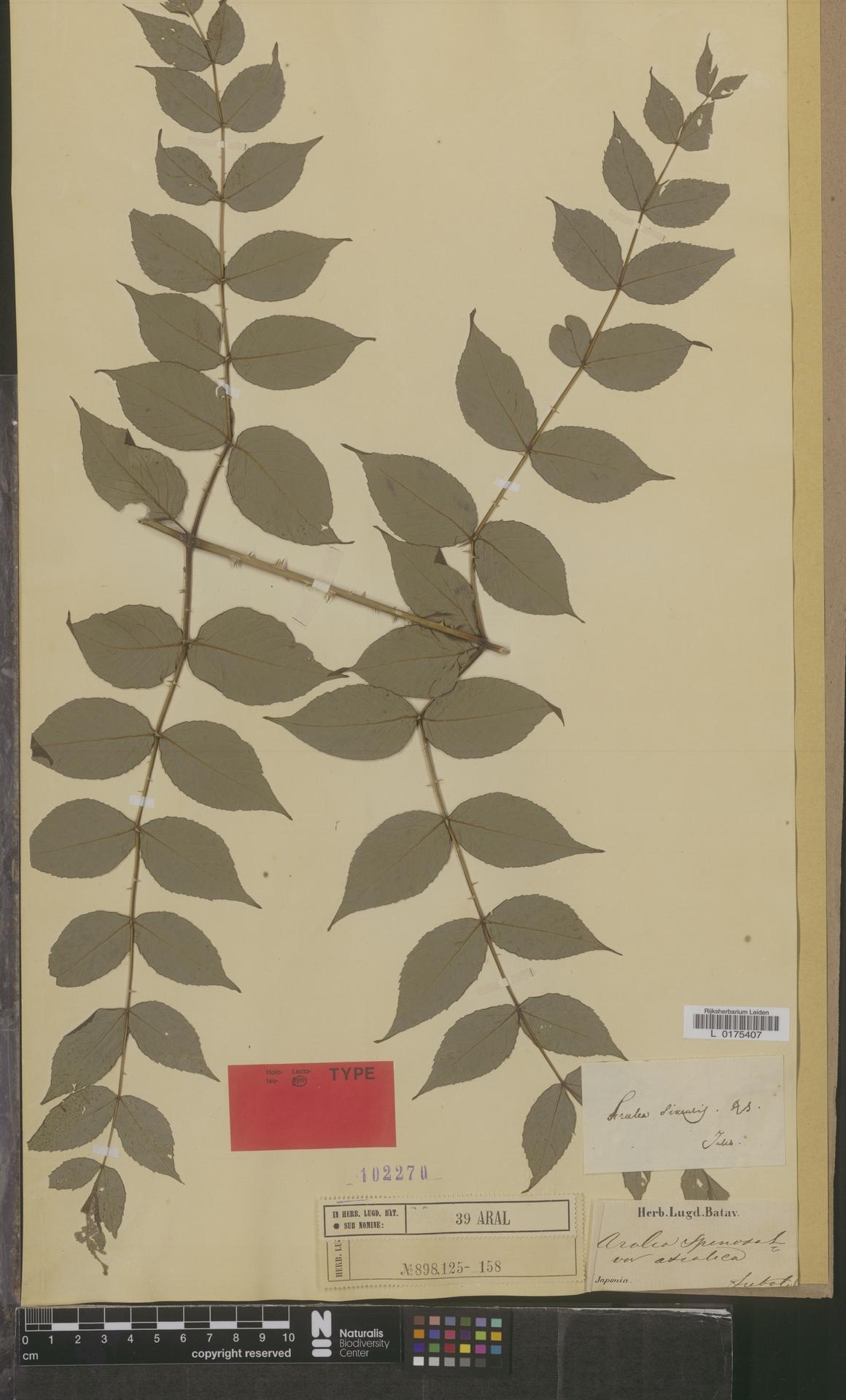 L  0175407 | Aralia spinosa var. asiatica